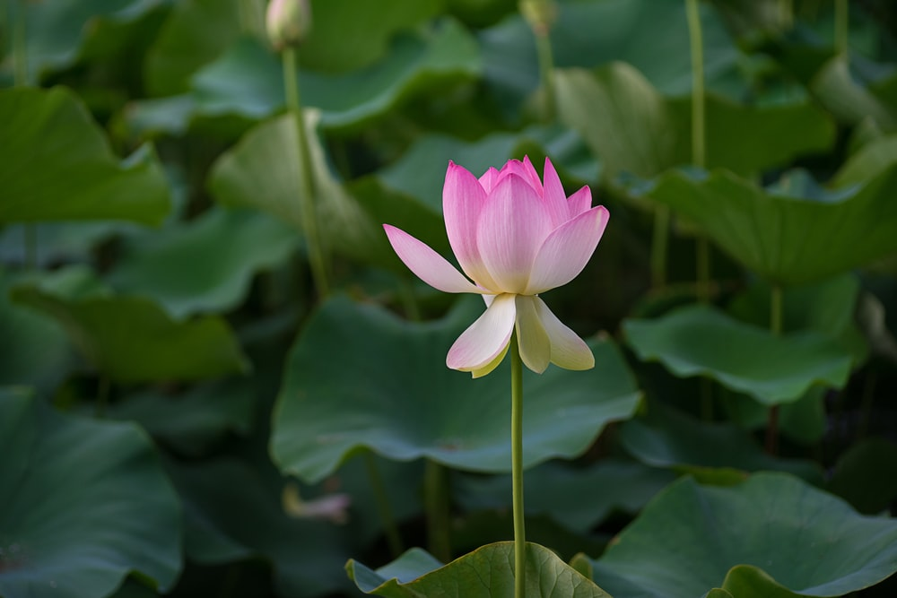 selective focus of pink petaled flower blooming