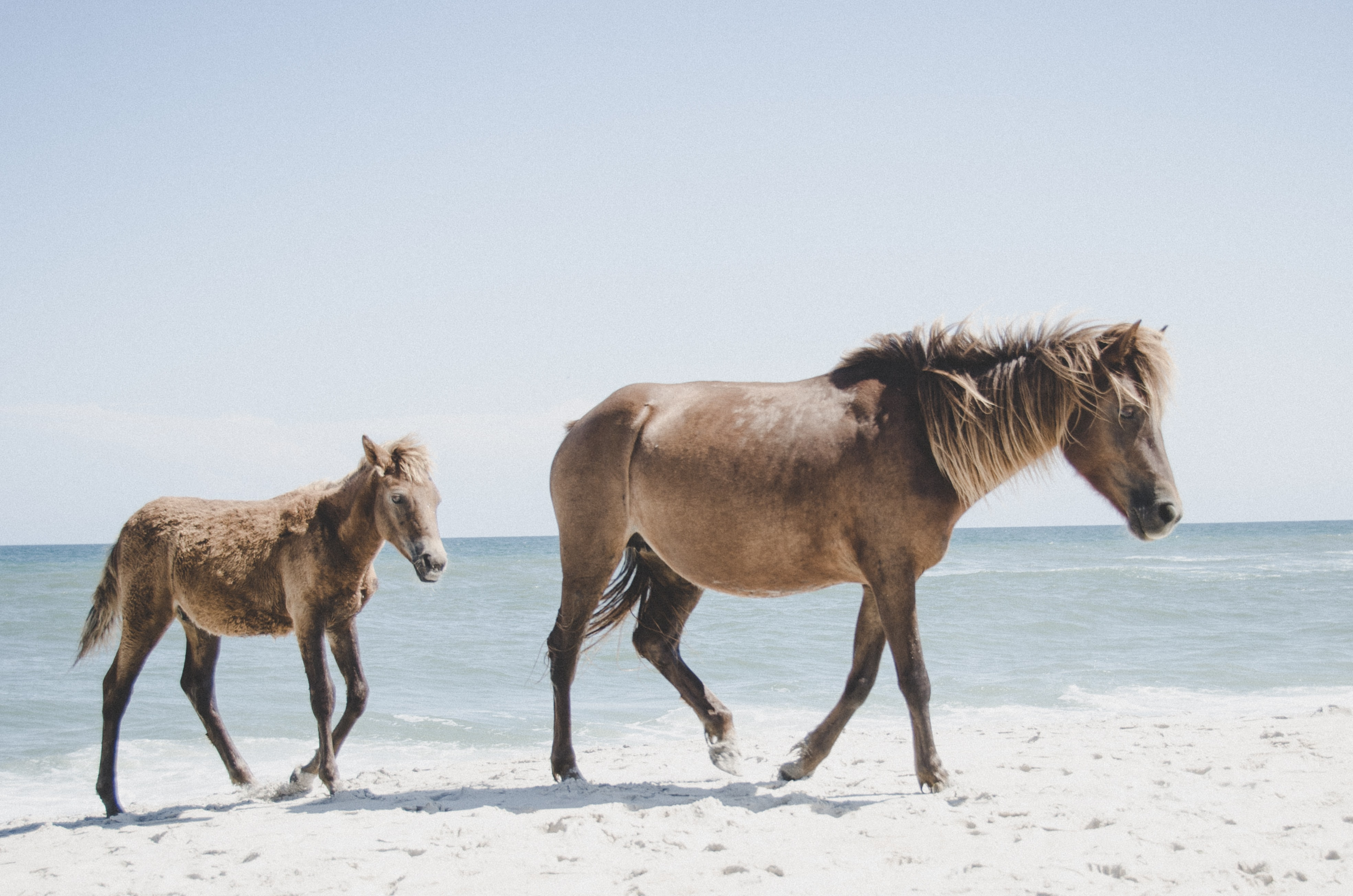 two brown horses on seashore during daytime