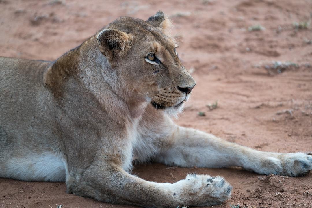 Resting lioness
