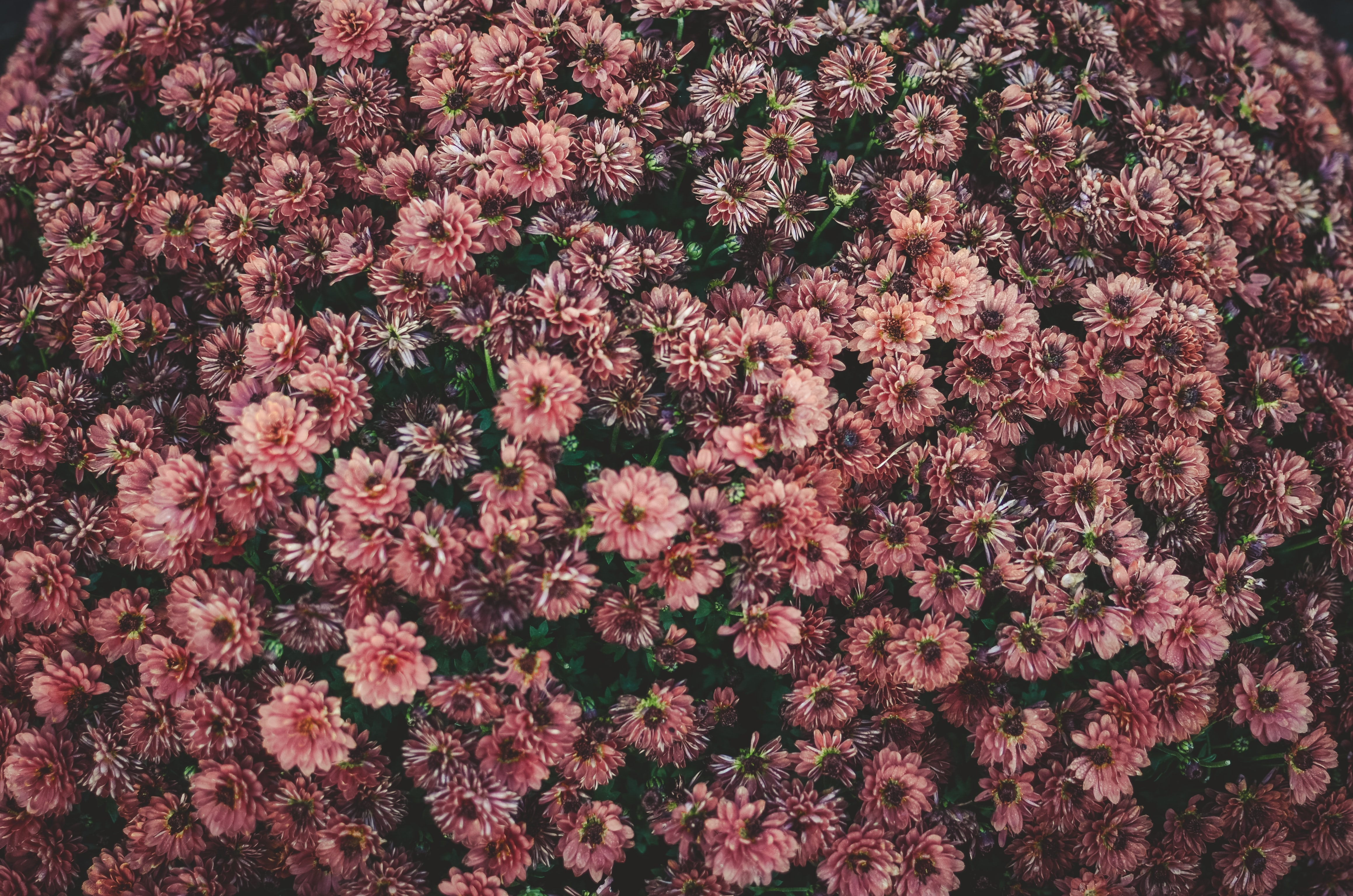 An overhead shot of a bed of dark pink flowers
