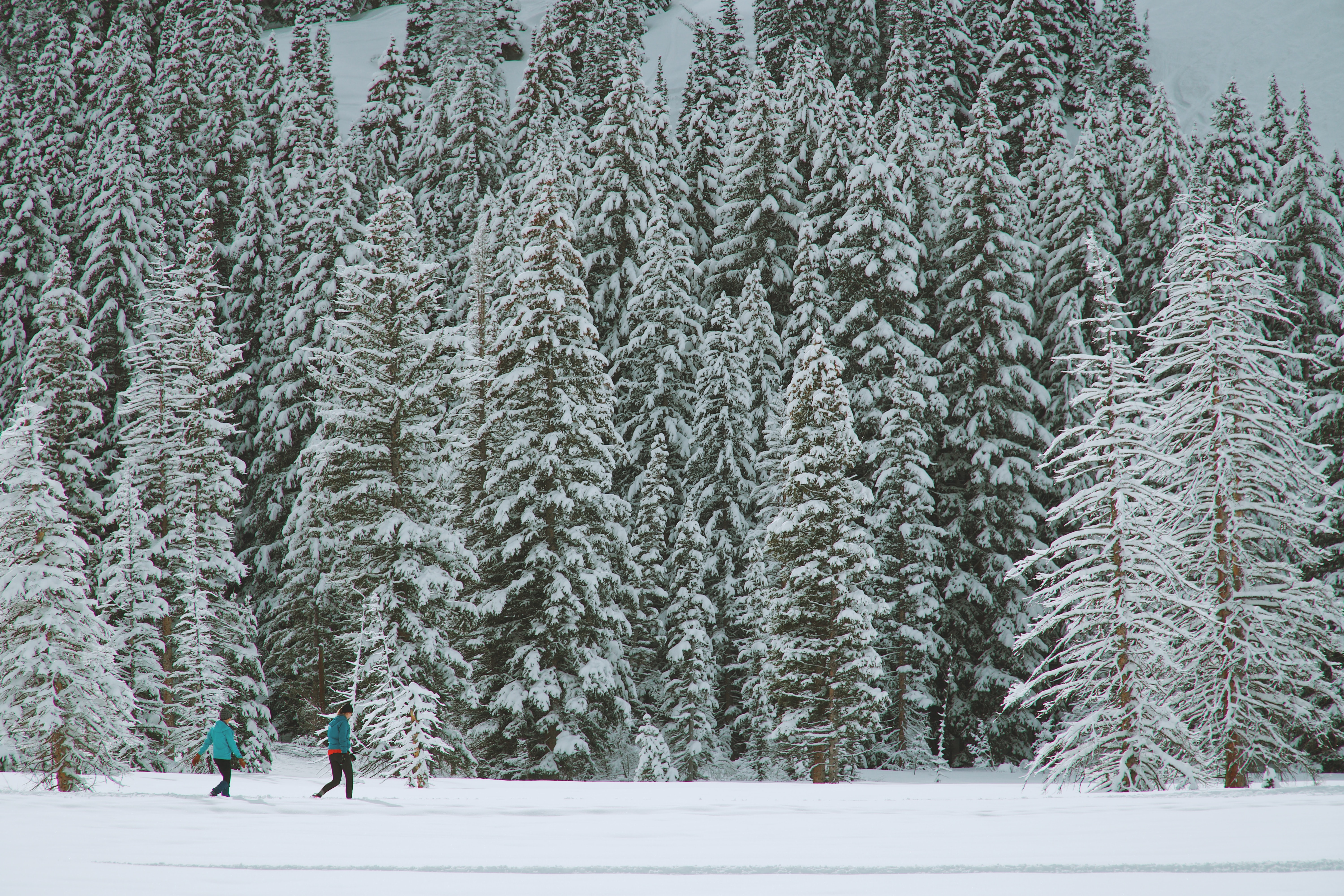 A forestscape shot capturing the tall snow covered trees at Solitude Nordic Center in Utah