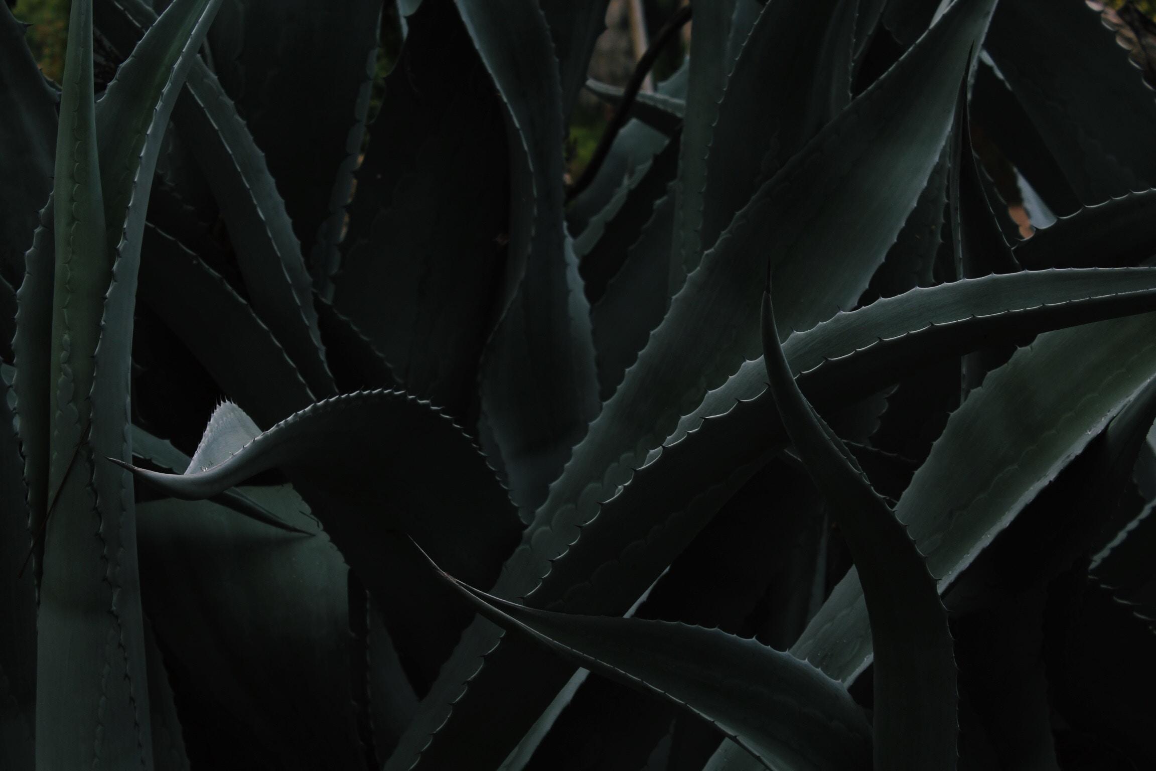 closeup photo of Aloe vera plant