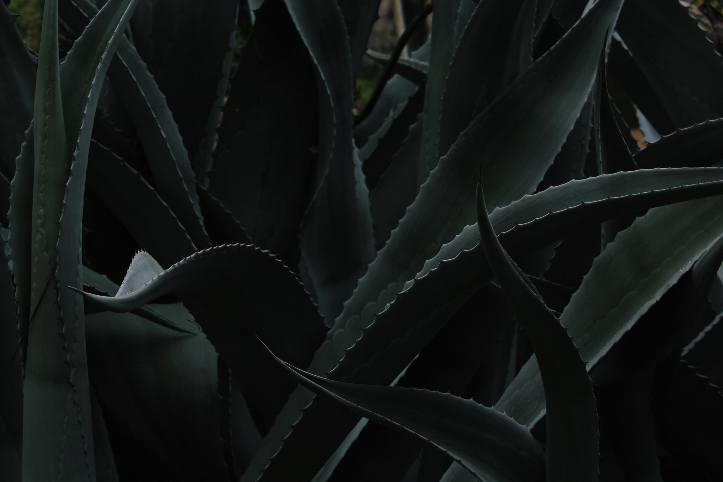closeup photo of Aloe vera plant