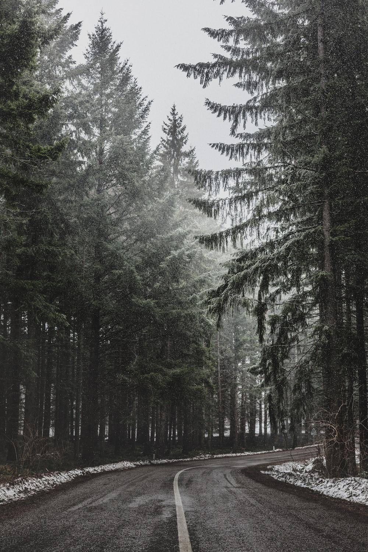 pine trees beside asphalt road