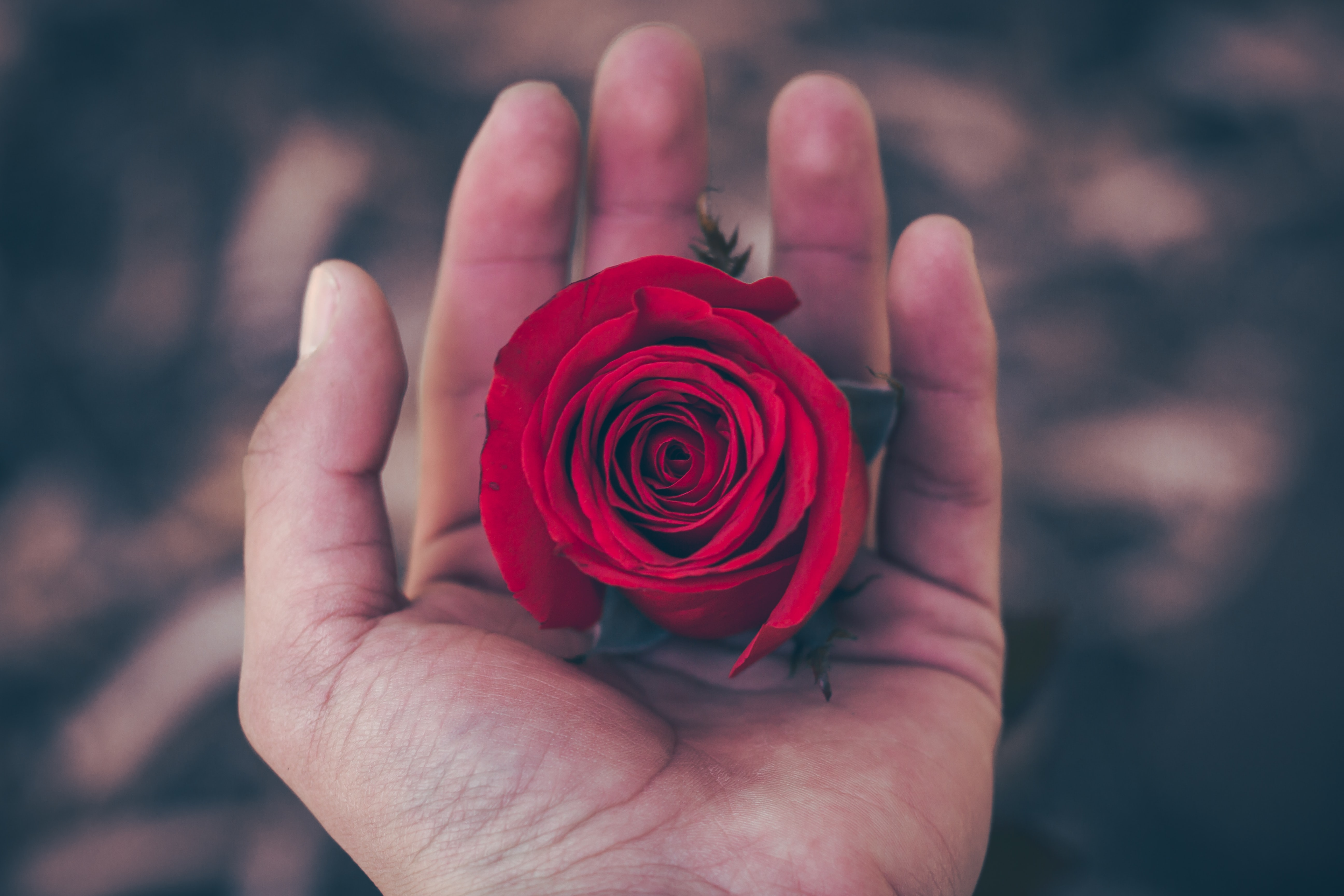 A person's hand holding a deep red rose flower