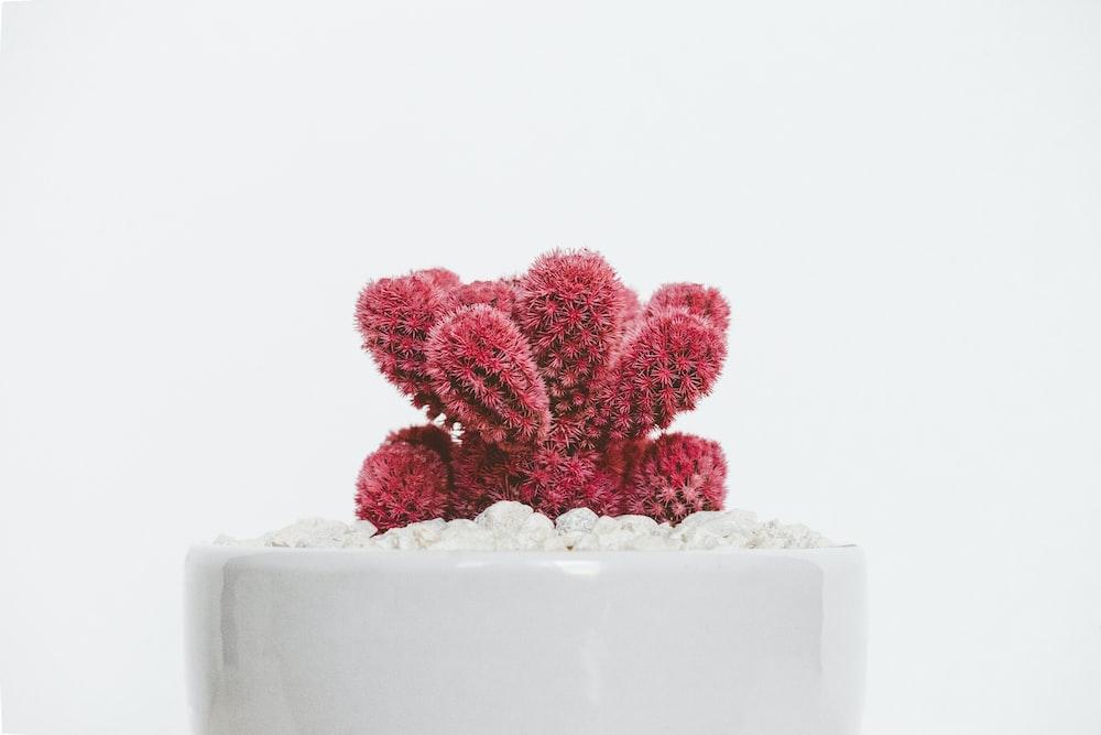 red cactus plant on white ceramic pot