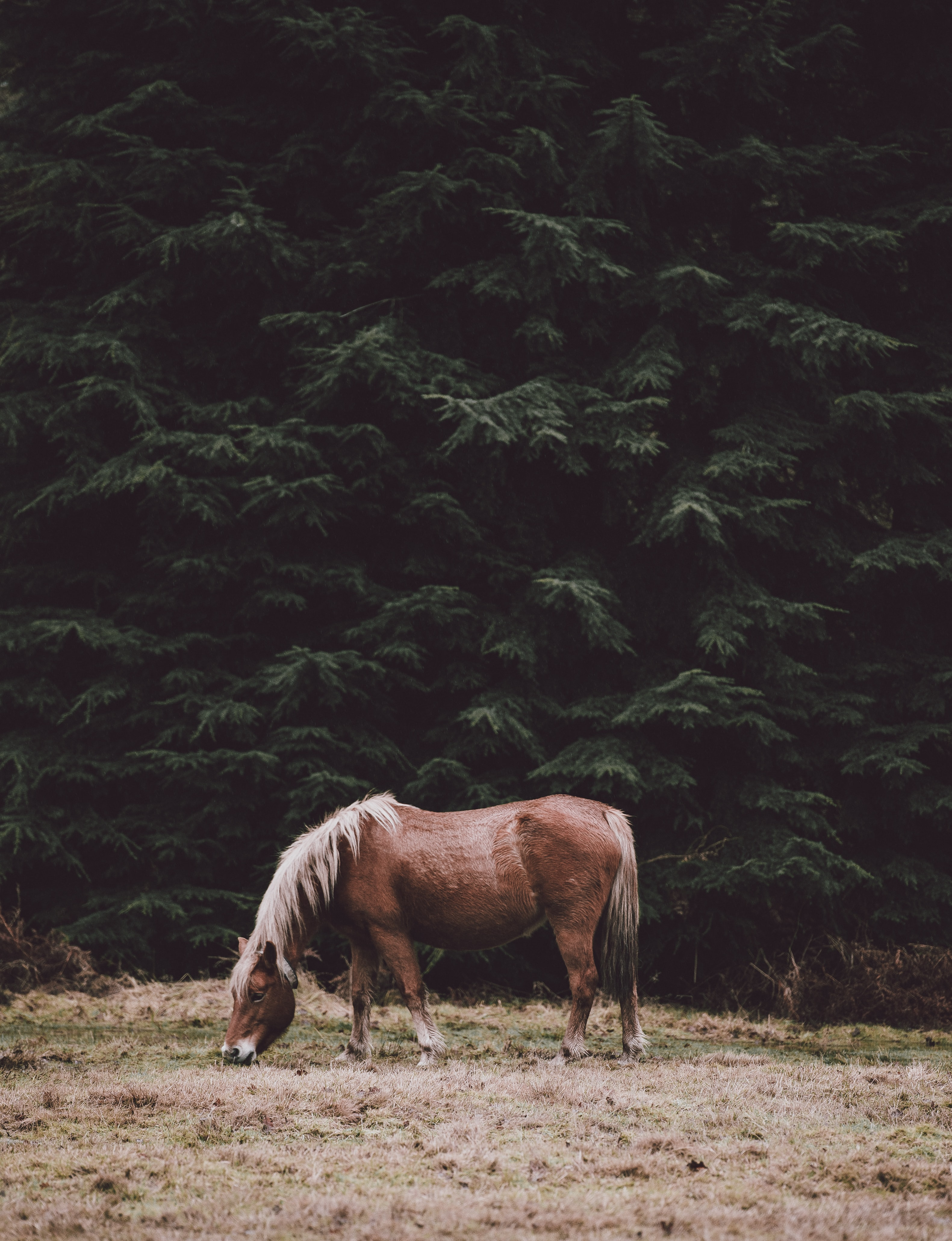 A chestnut horse grazing on dry grass near tall evergreen trees