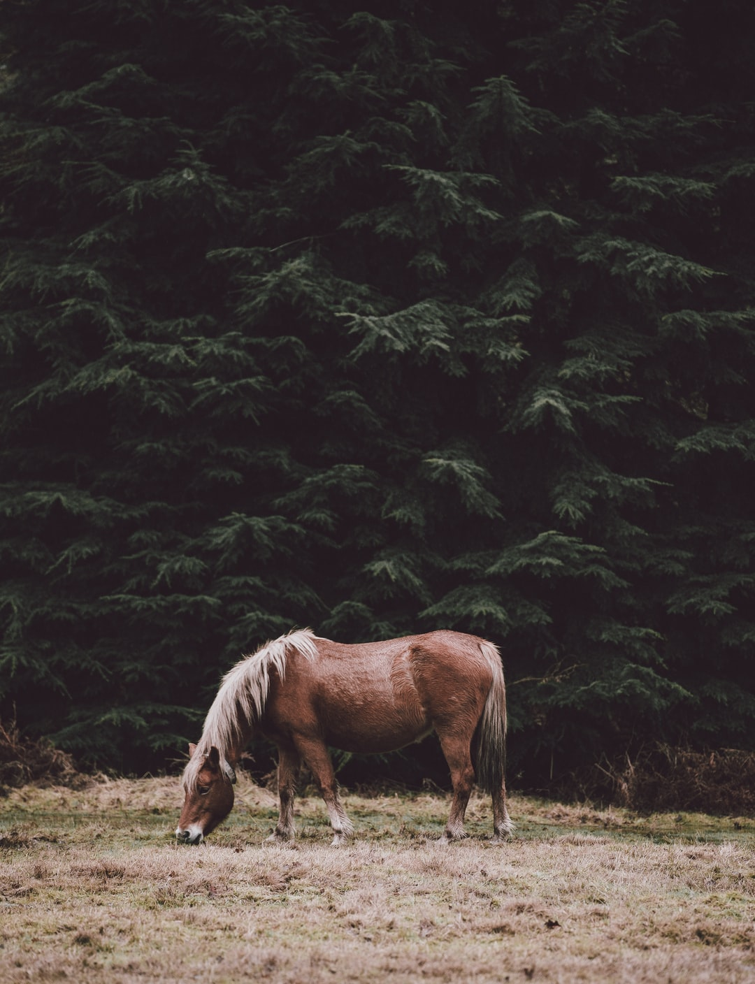 Horse grazing in the shade of conifers