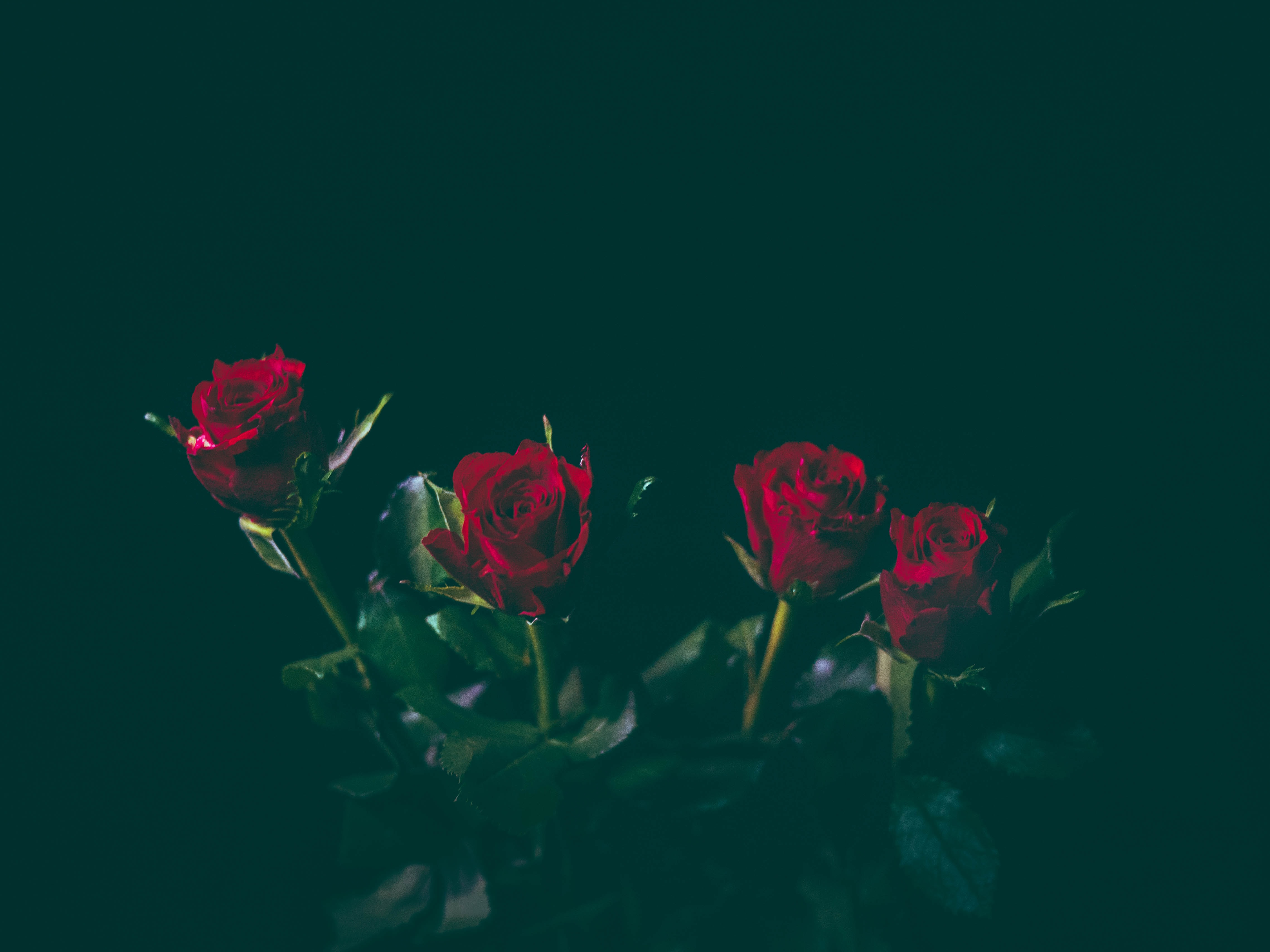 A bunch of 4 red roses set against a black background