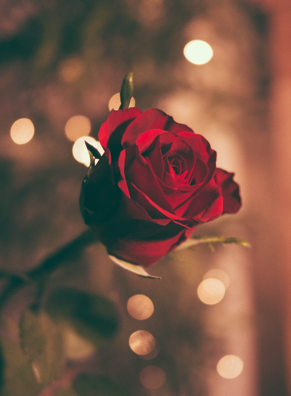 focused photo of a romantic red rose