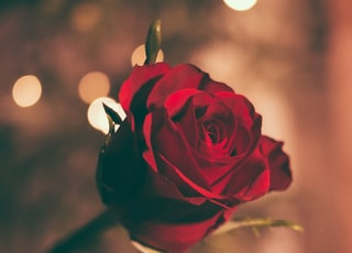 focused photo of a red rose