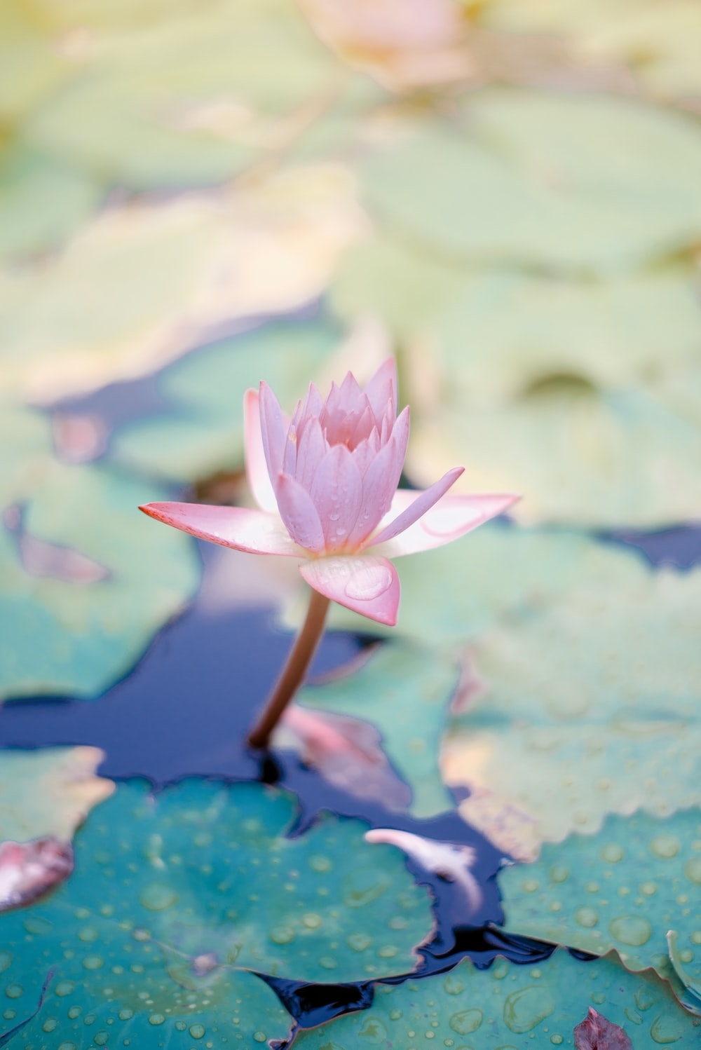 close up photo of water lily flower