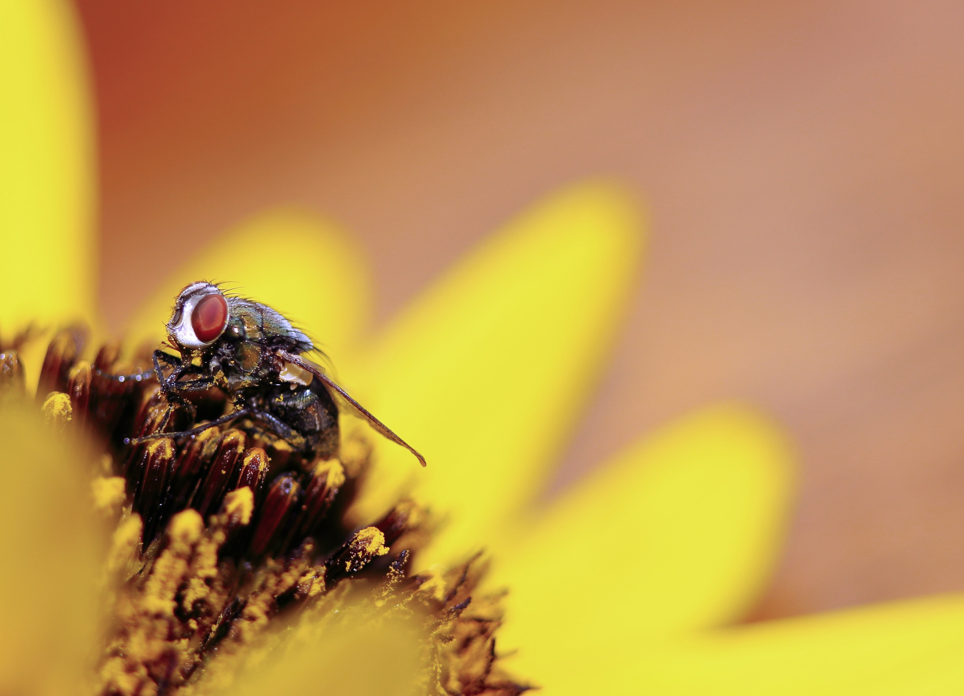 A macro shot of a fly in the center of a yellow flower