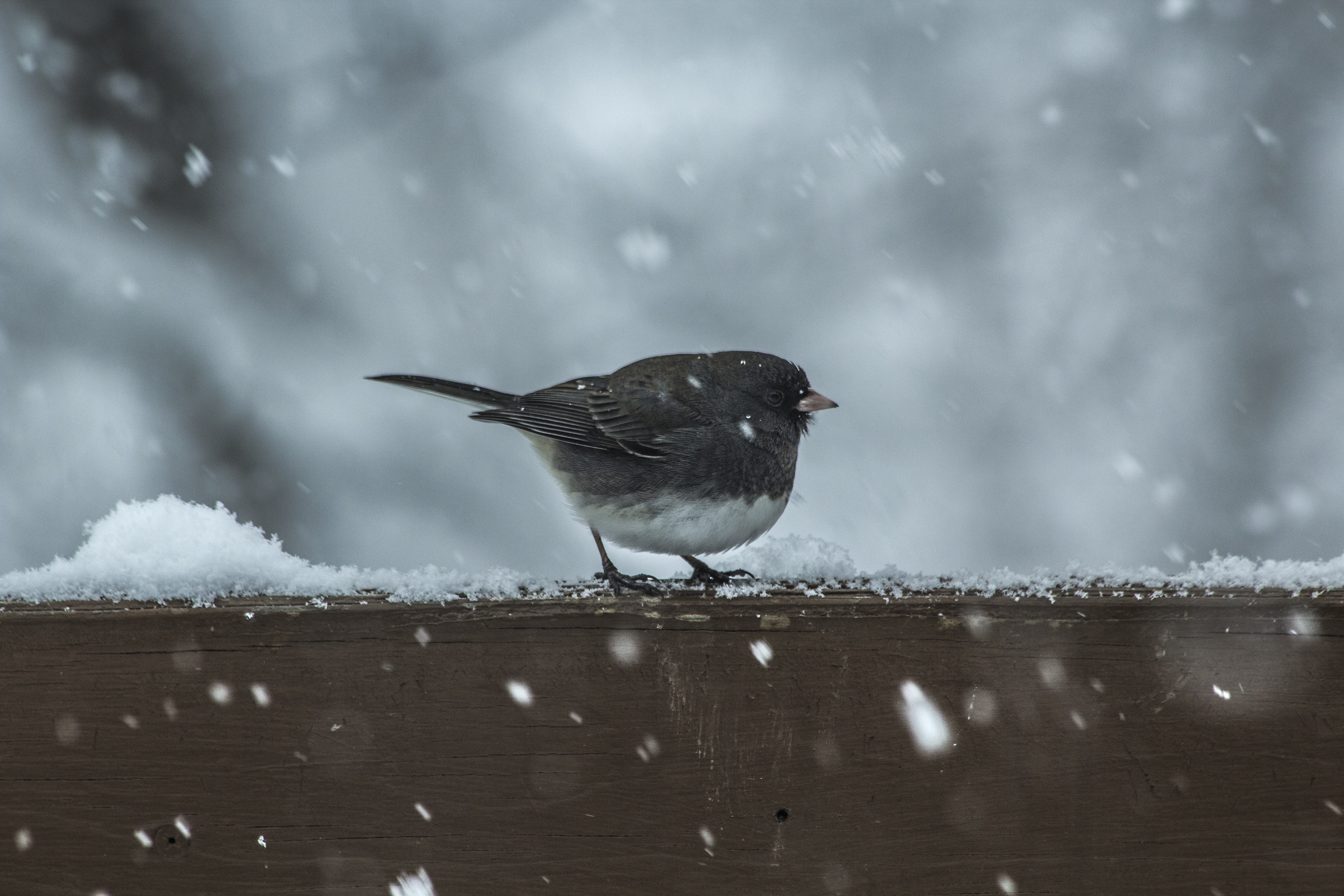 A small brown bird with a white belly in a snowing scene standing on a wooden railing covered with snowflakes