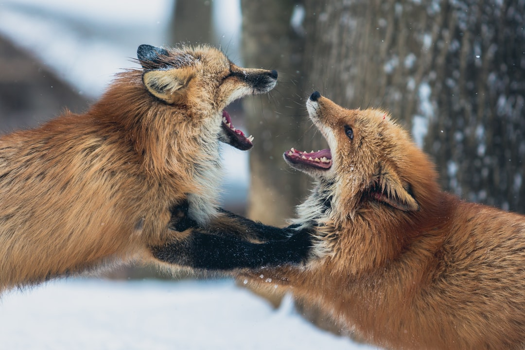 Two foxes fight in a snowy environment in Zao, in the North of Japan. Zao is the home to the only fox village in the world, which is a sanctuary for rescued foxes. They are tame enough to get close to.