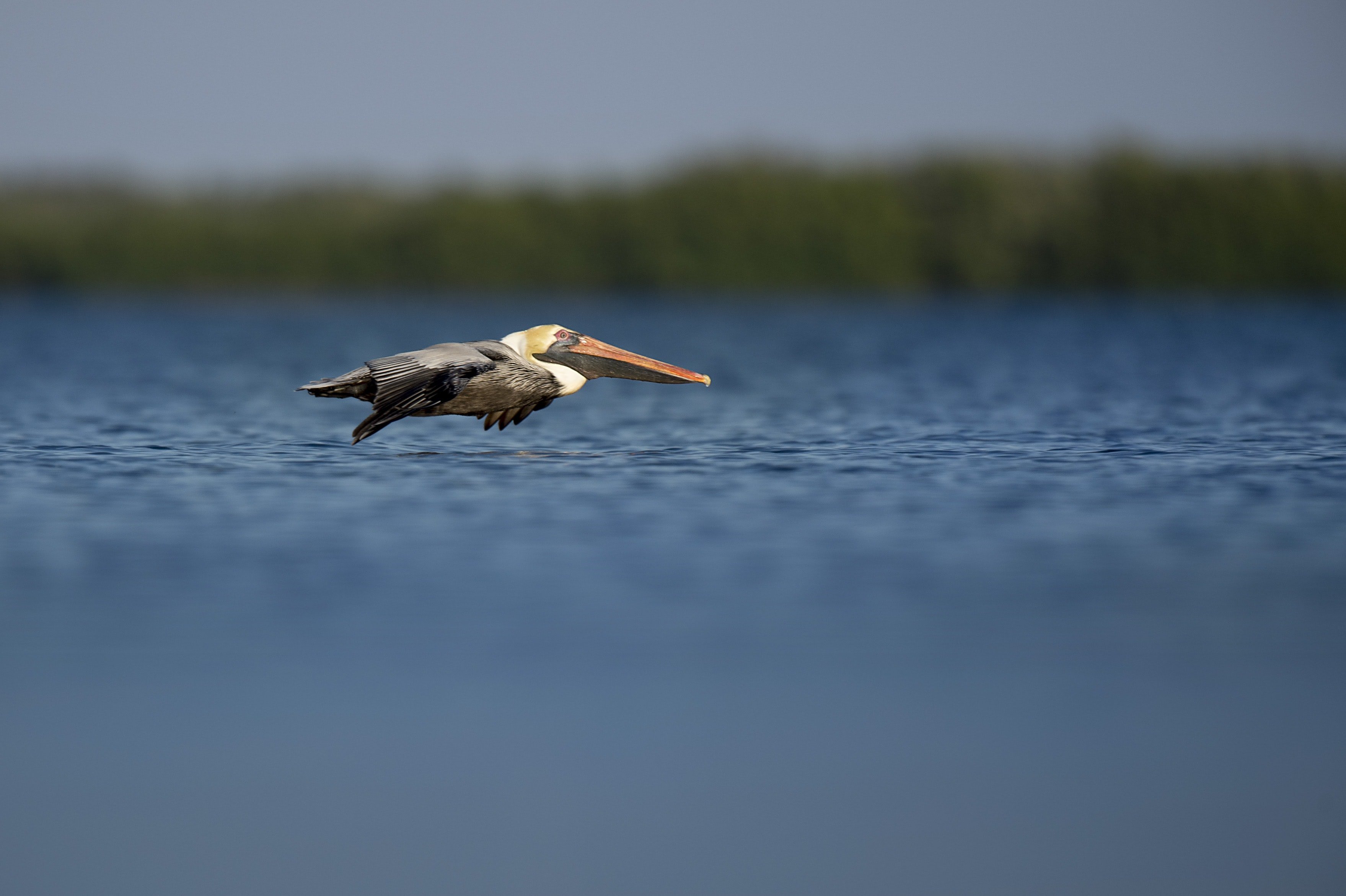 A pelican flying over a lake in Florida.