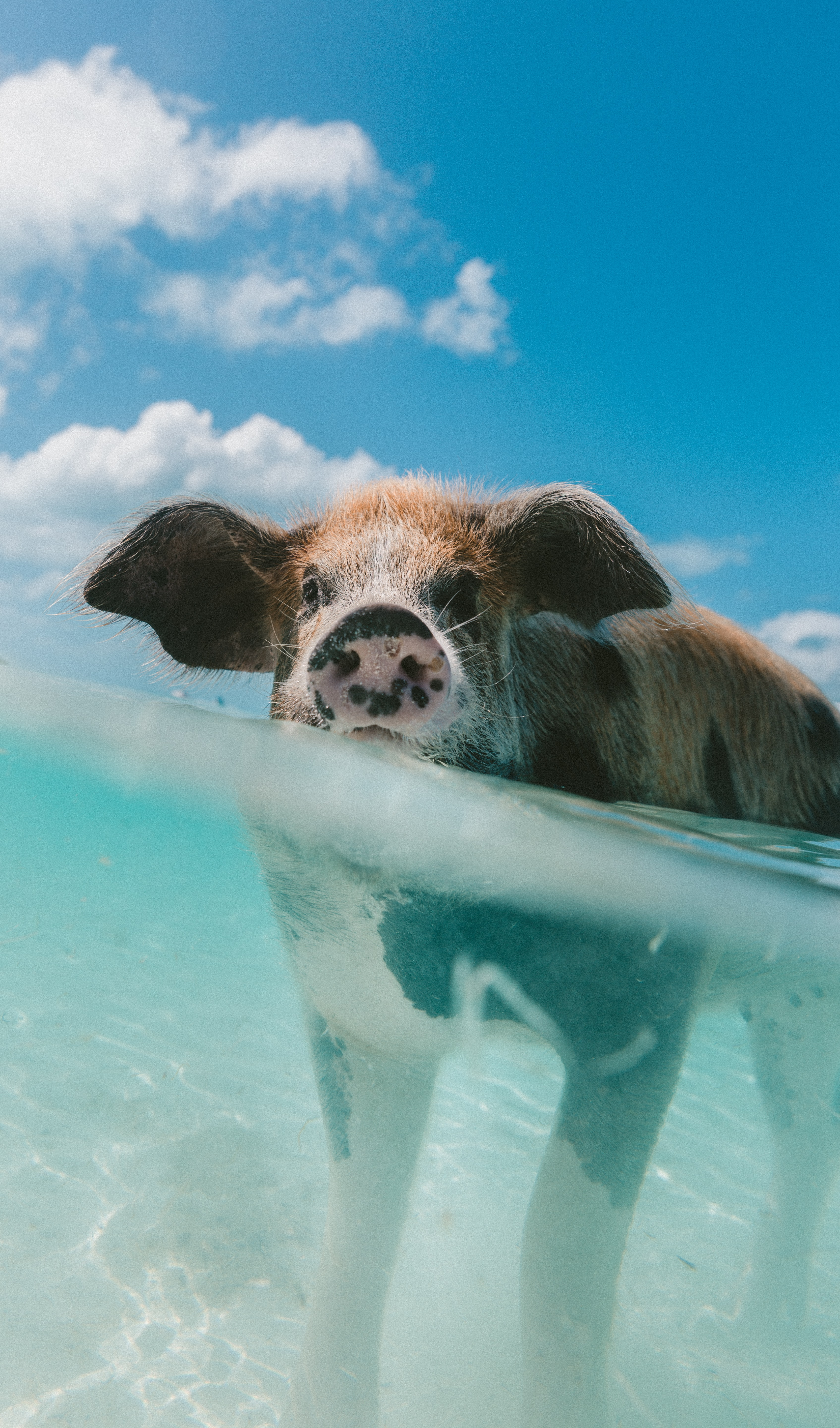 pig walking on body of water during day