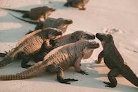 group of comodo dragons