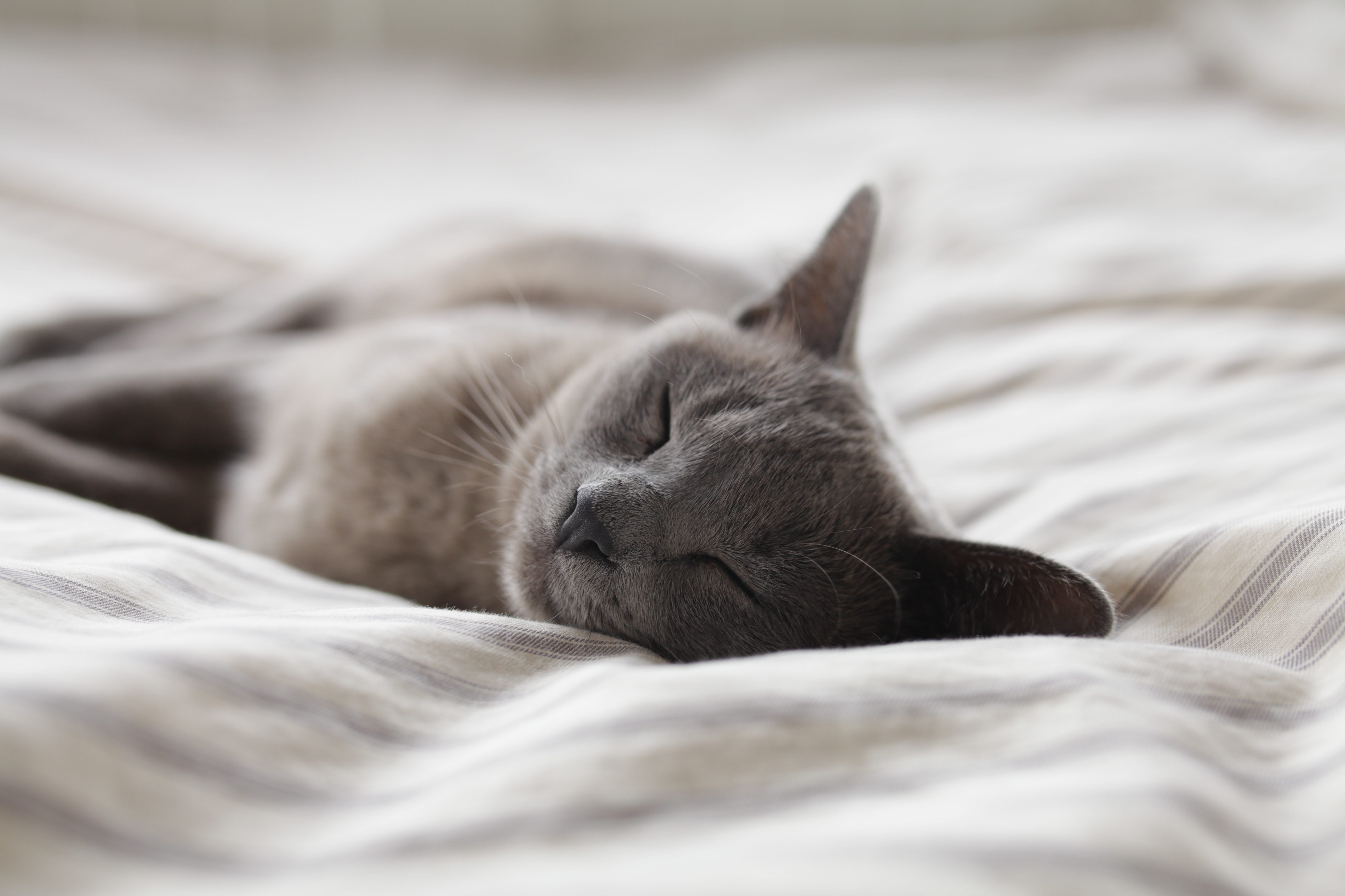A short-haired cat sleeping on a bed