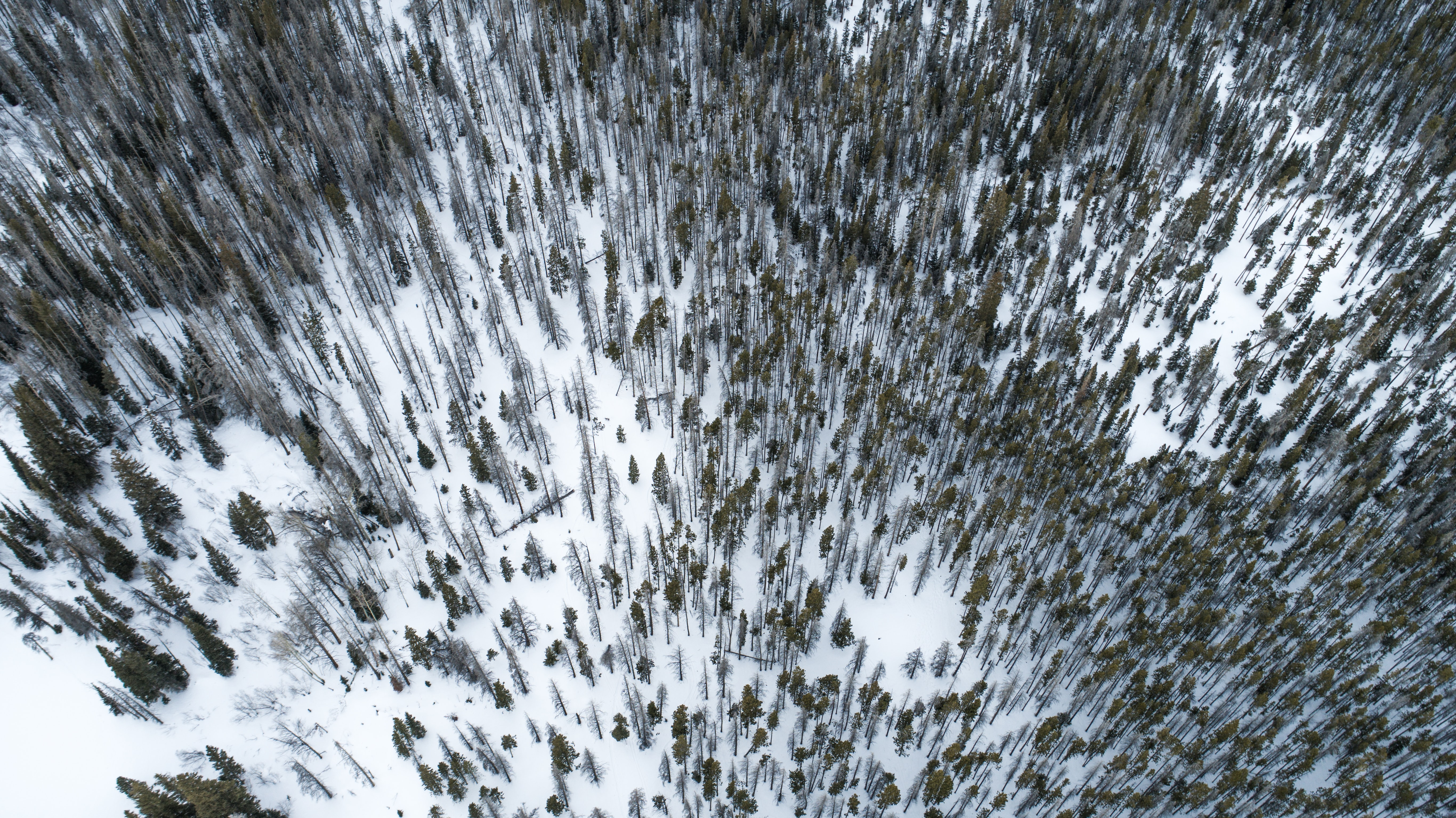 A drone shot of a stretch of a coniferous forest under a snow blanket