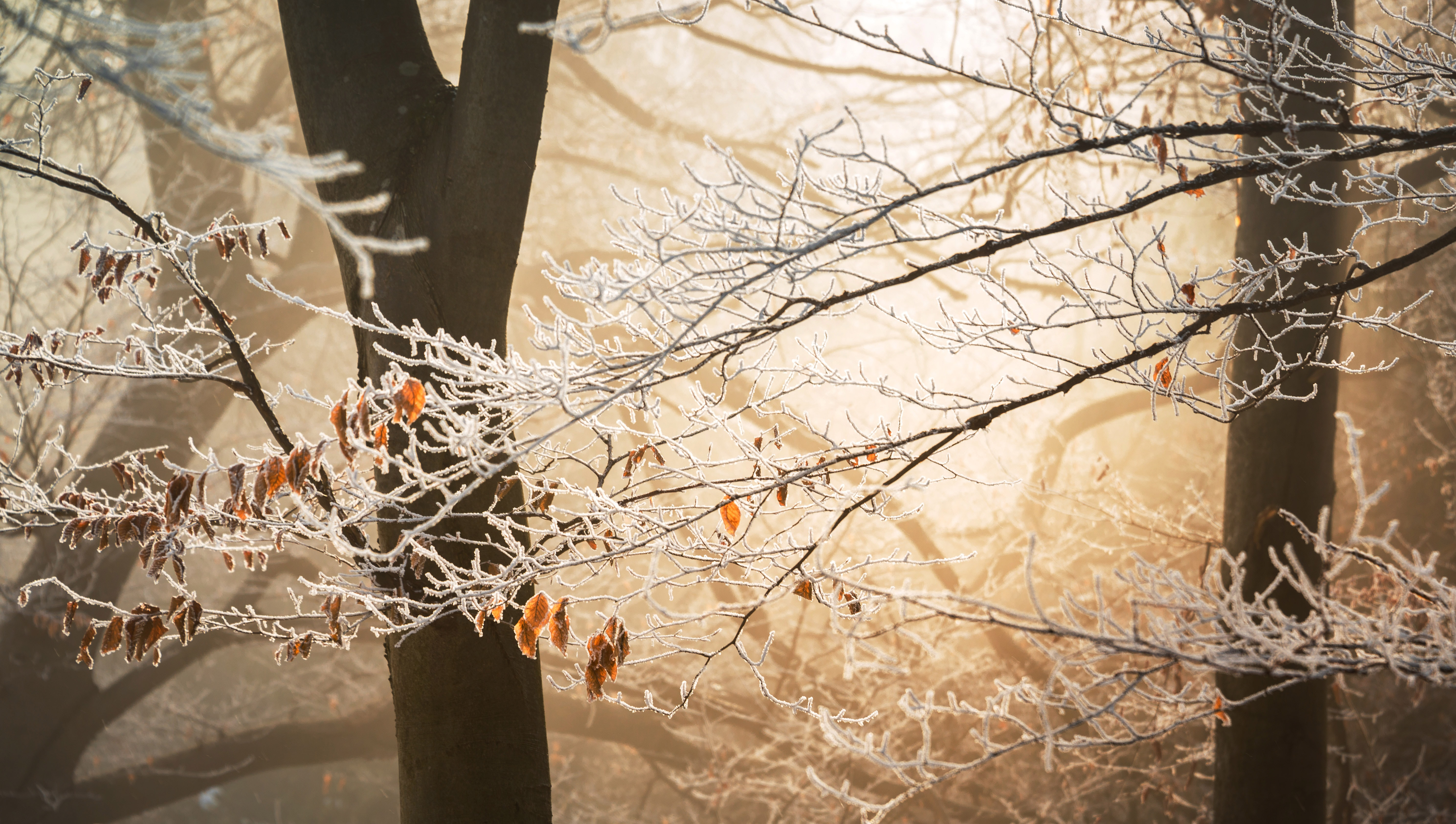 Sun illuminates the branches and their few remaining leaves all covered in frost