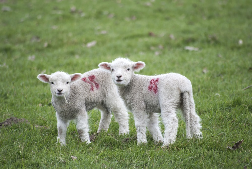 two white-and-red sheeps