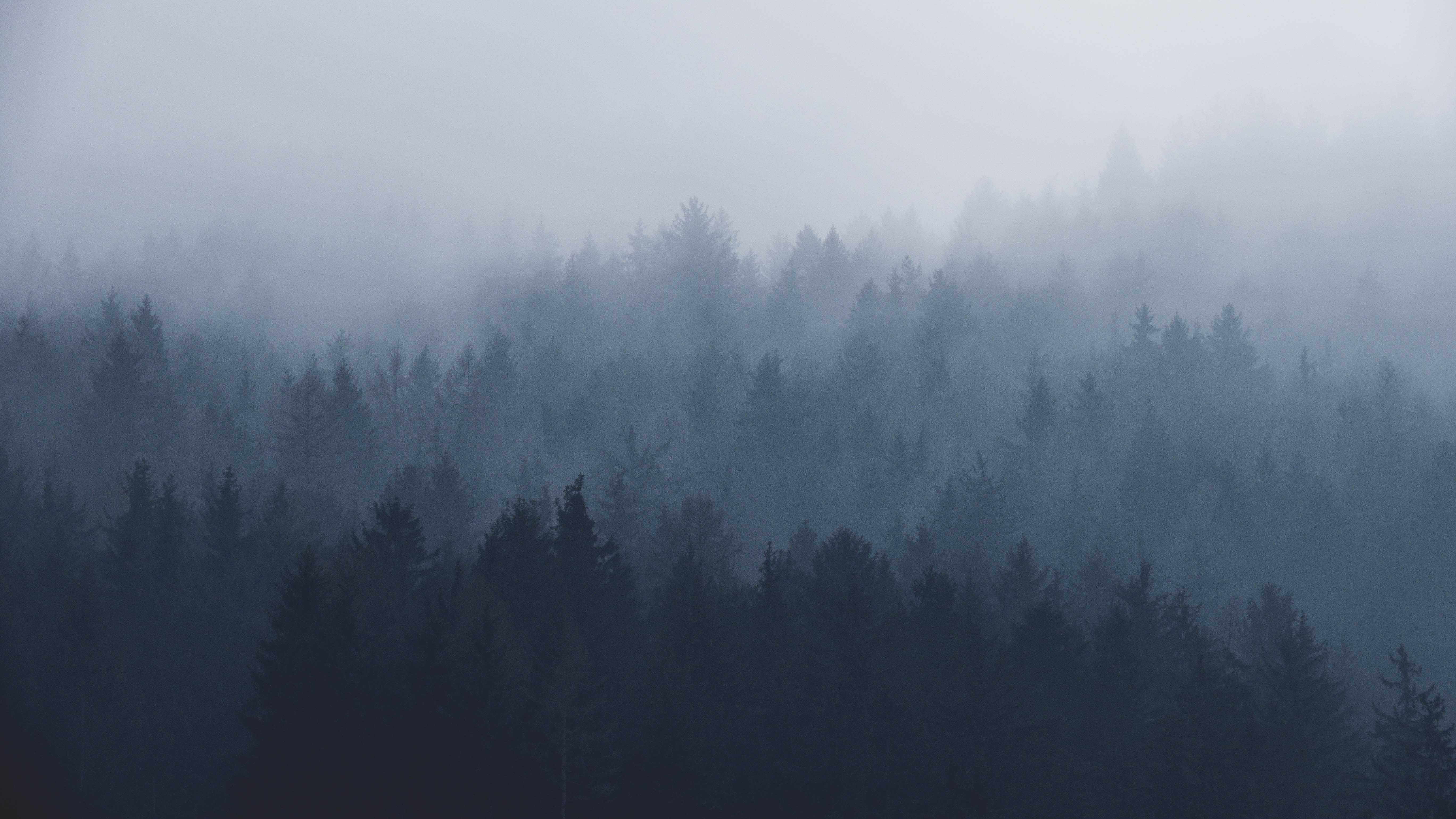Parallel lines of evergreen trees under a heavy mist