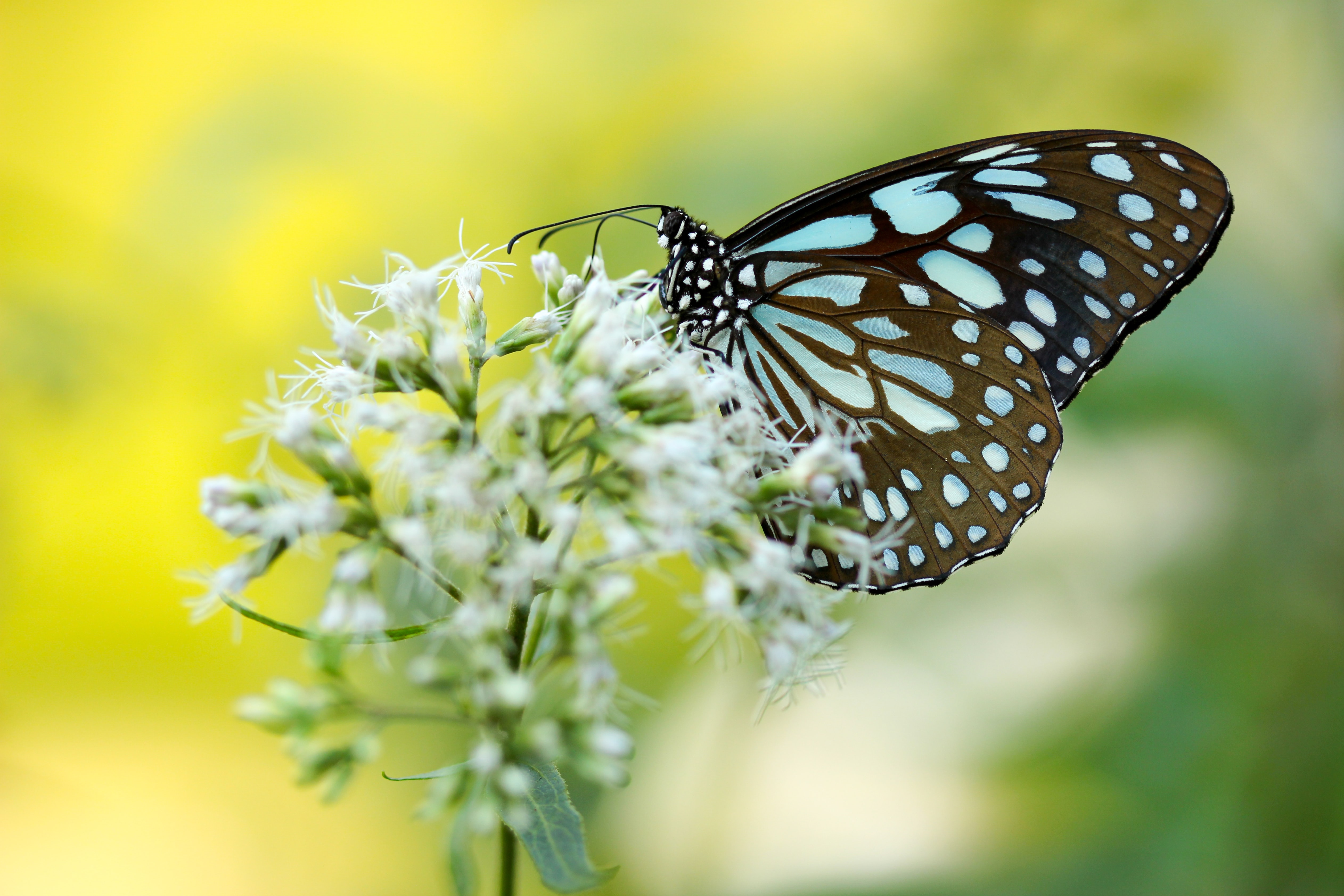 brown and blue butterfly pollinating on white petaled flower