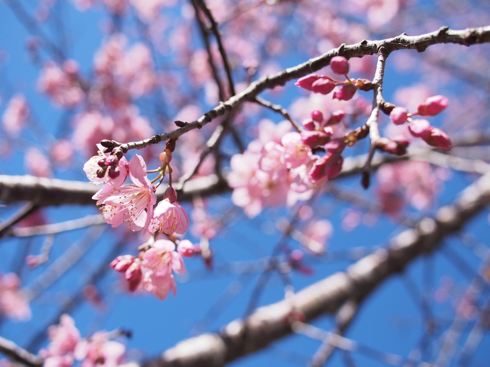 pink and brown tree blossoms