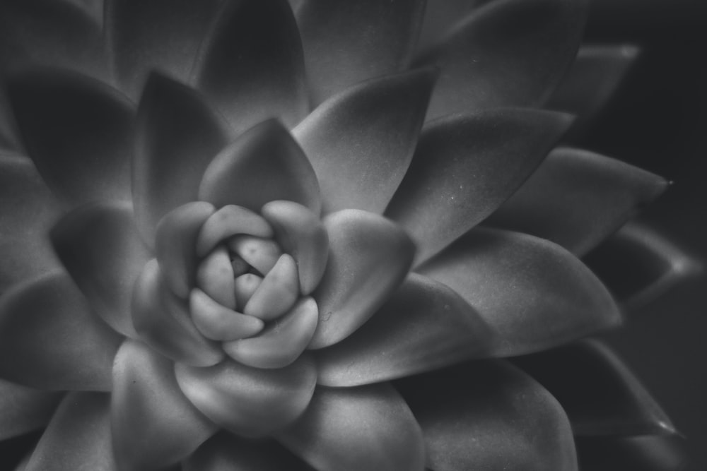 grayscale and closeup photo of succulent