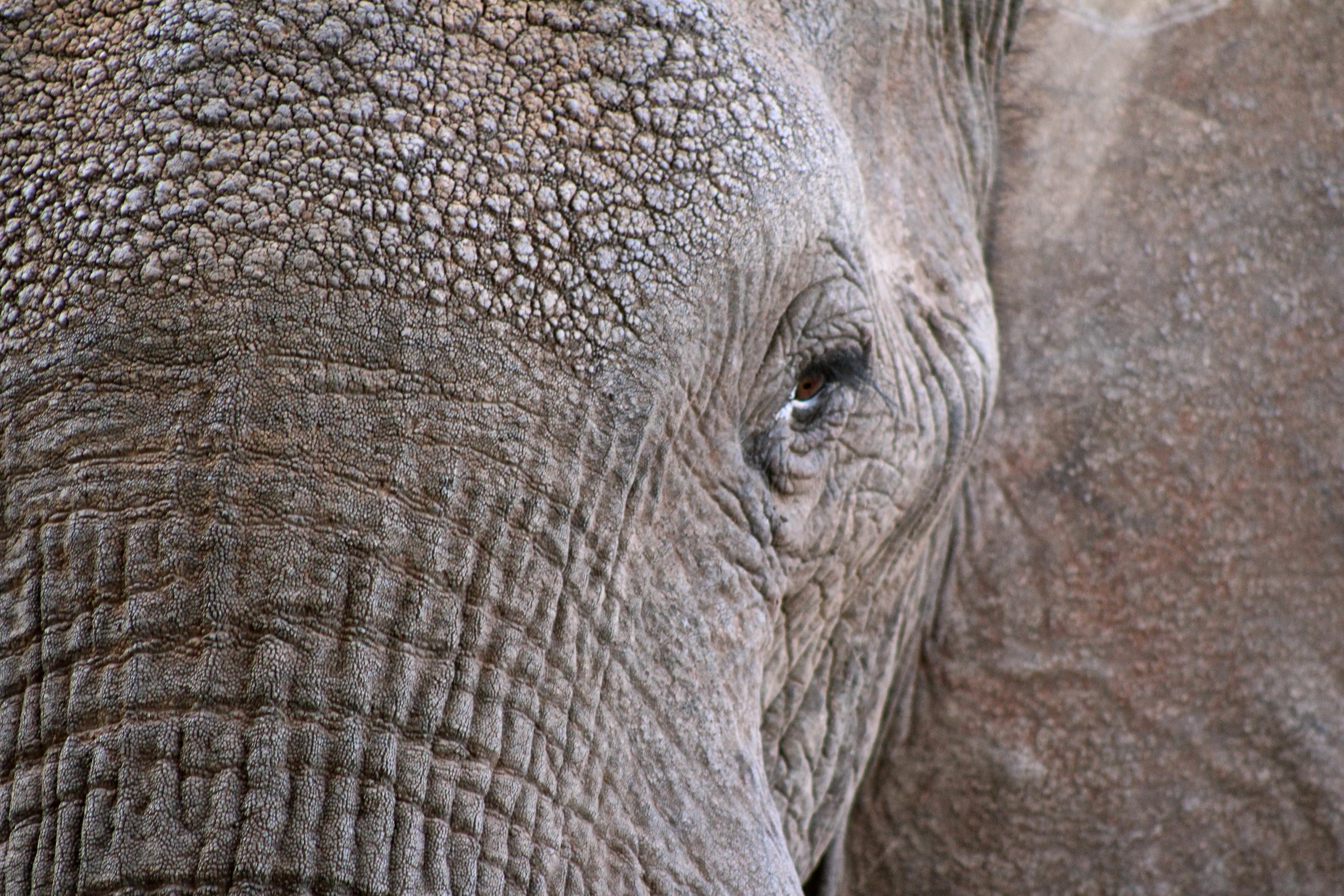 closeup photo of elephant face