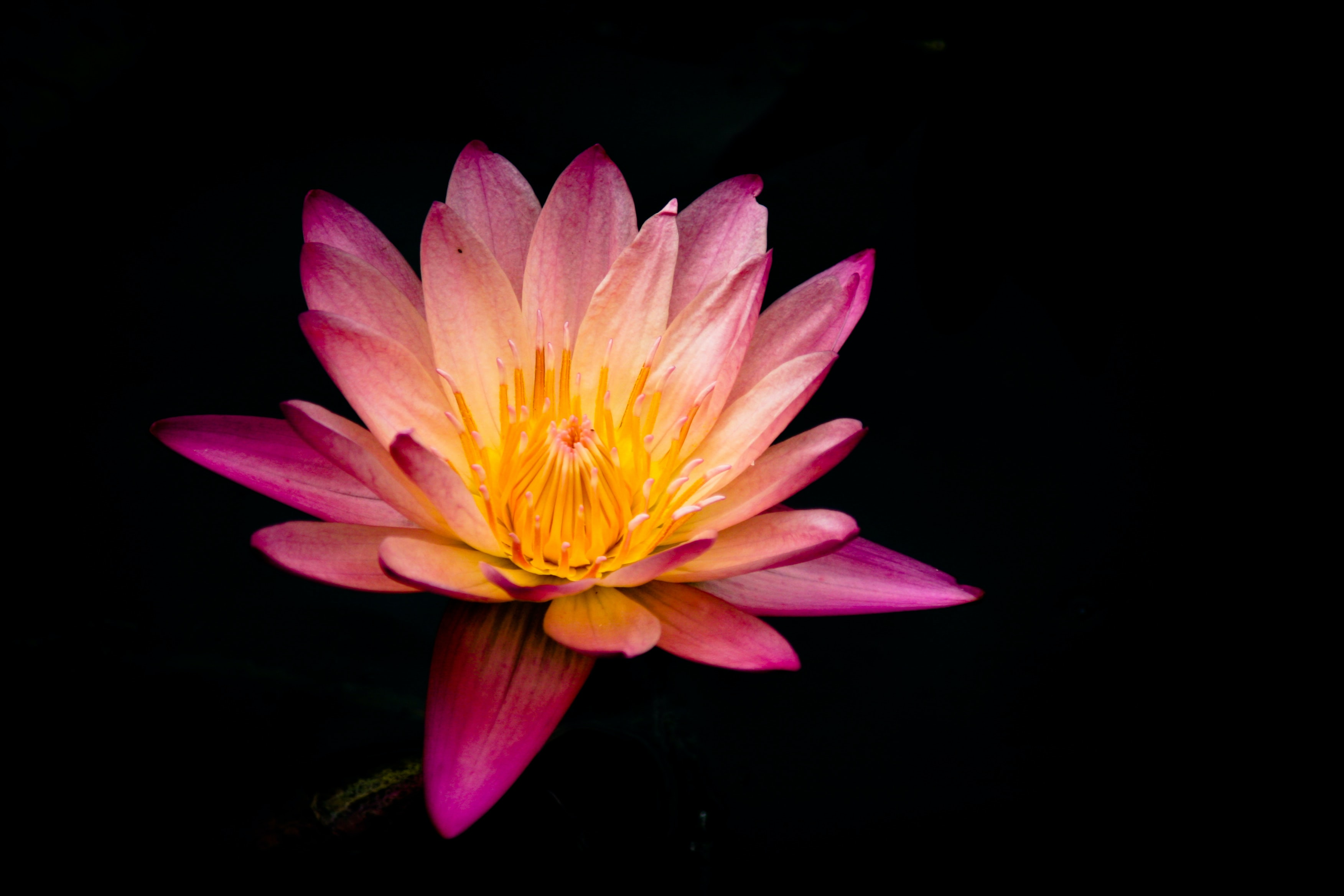 A purple and yellow water lily against a black background