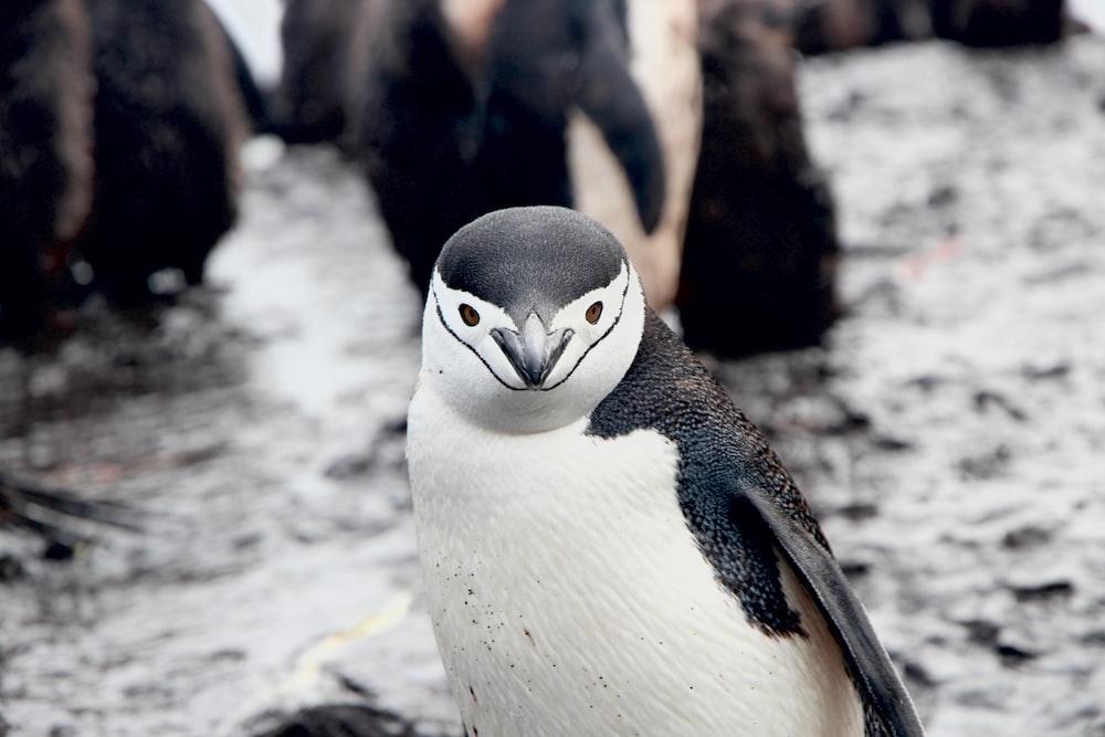 white and black penguin photo