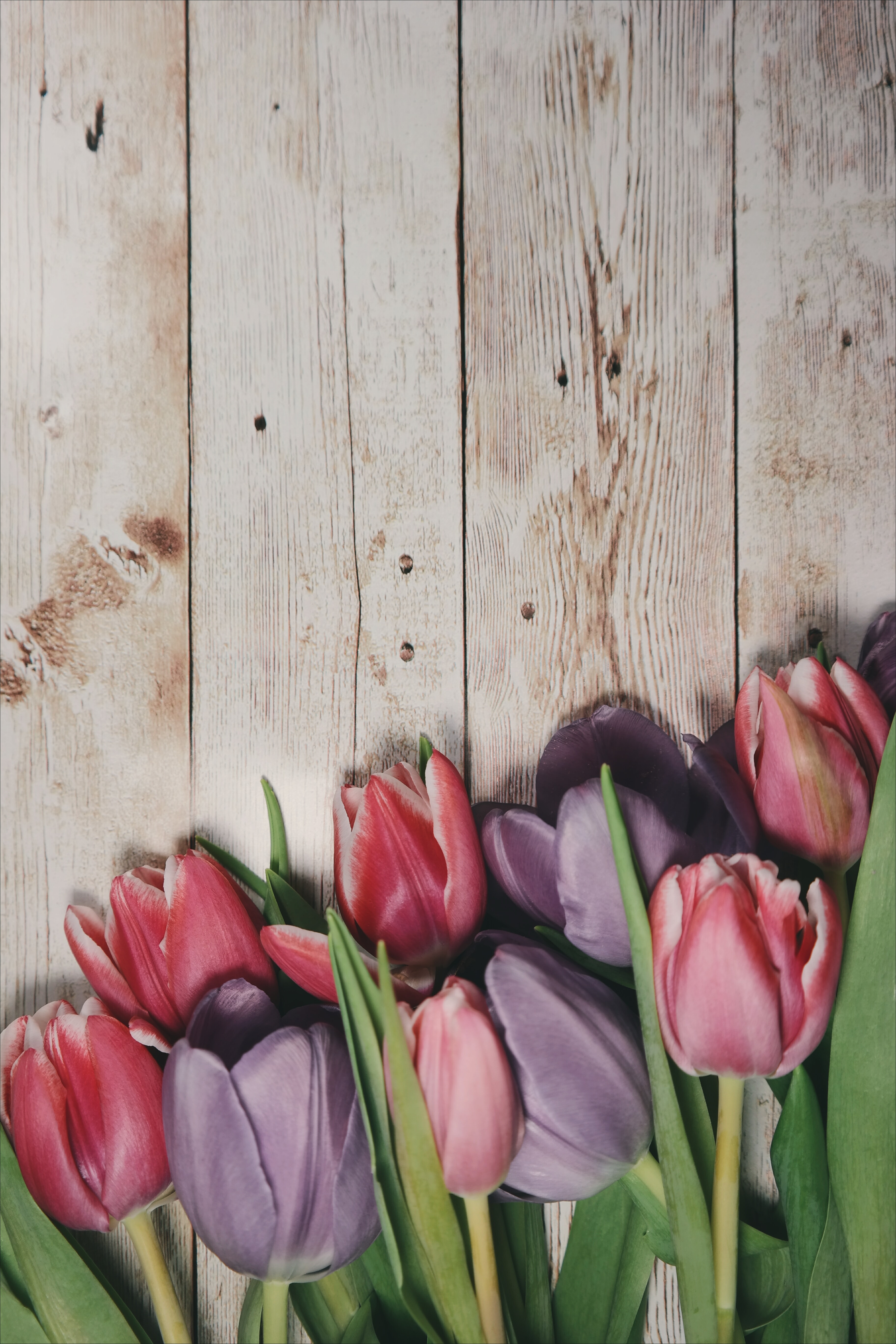 Macro shot of pink tulips on a wooden deck.