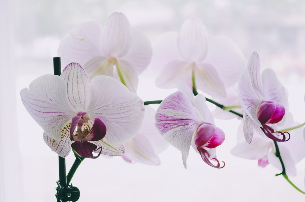 white-and-purple moth orchids
