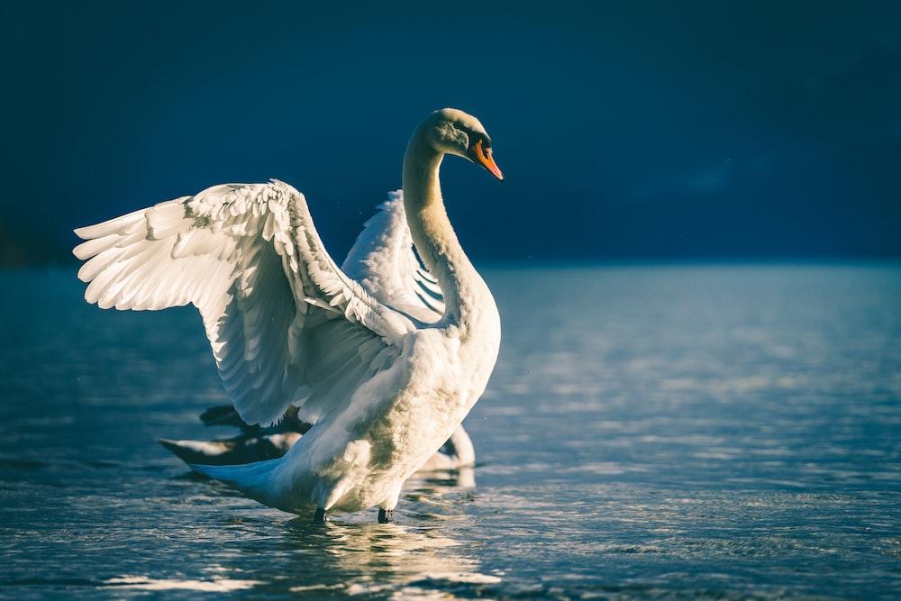 swan spreading wings in body of water