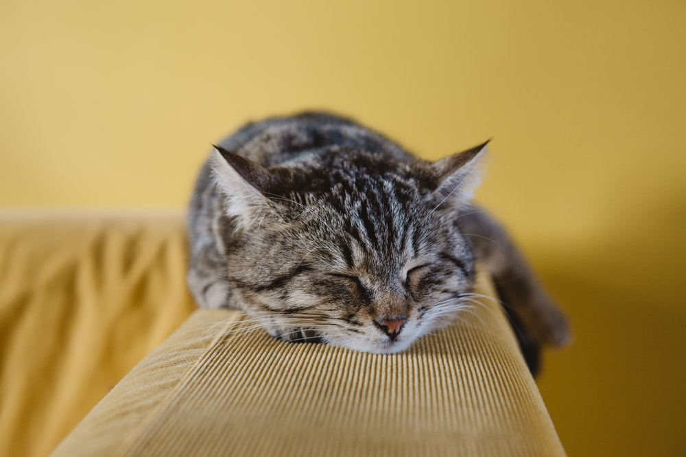 A tabby cat sleeping on an a couch armrest