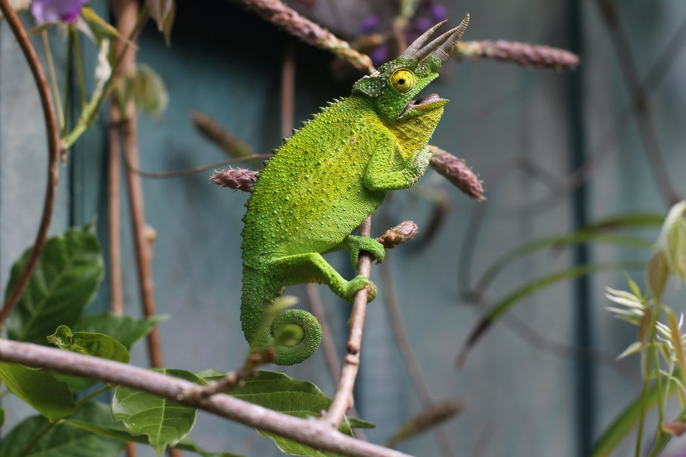 shallow focus photography of chameleon in branch