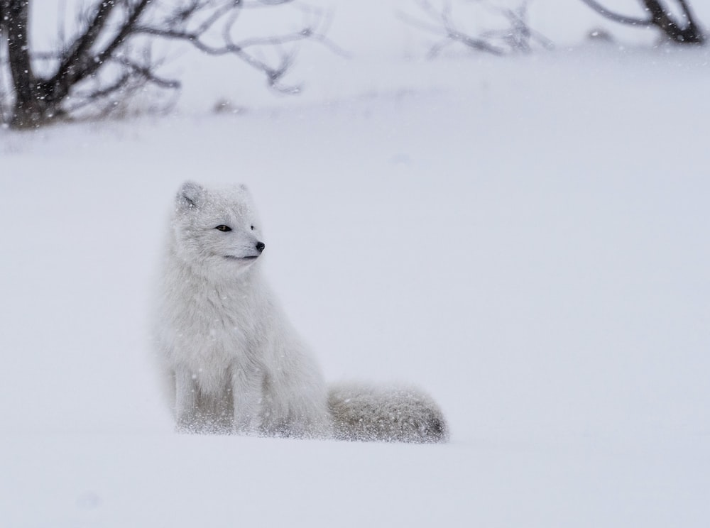 white fox standing on snow during daytime