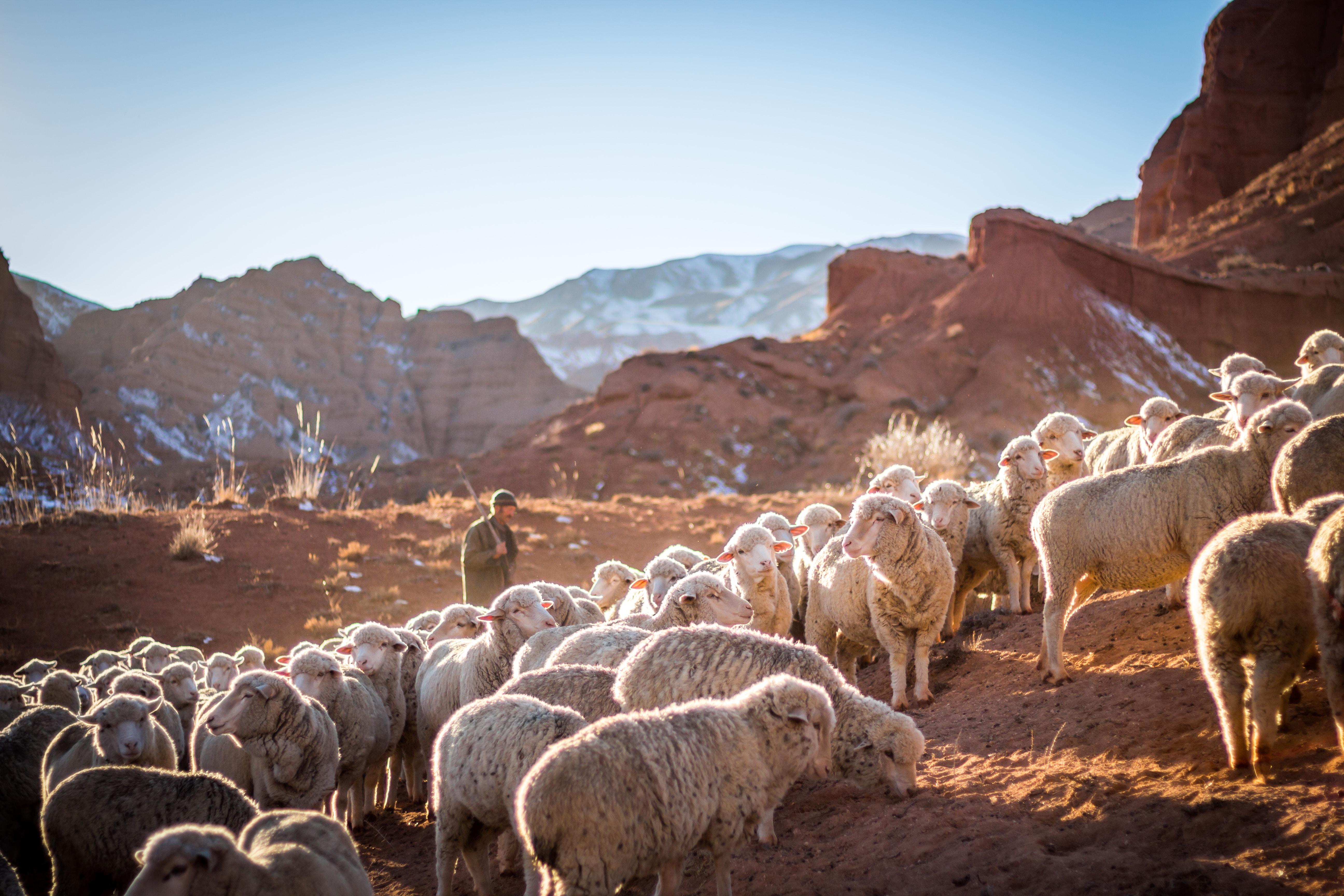 Farmer herds sheep on the mountain in Kyrgyzstan