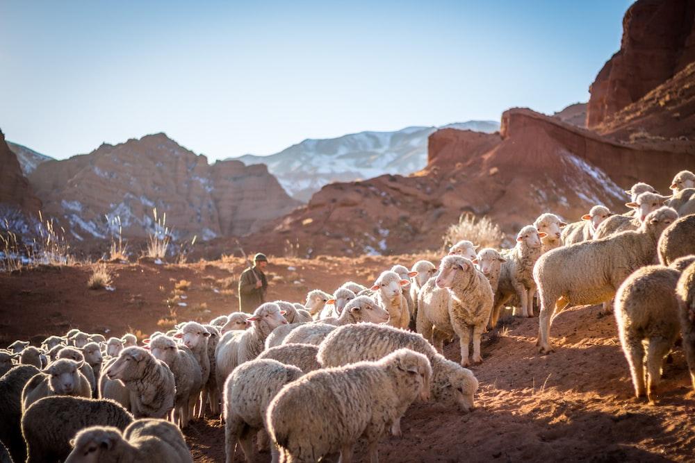 photo of herd of sheep