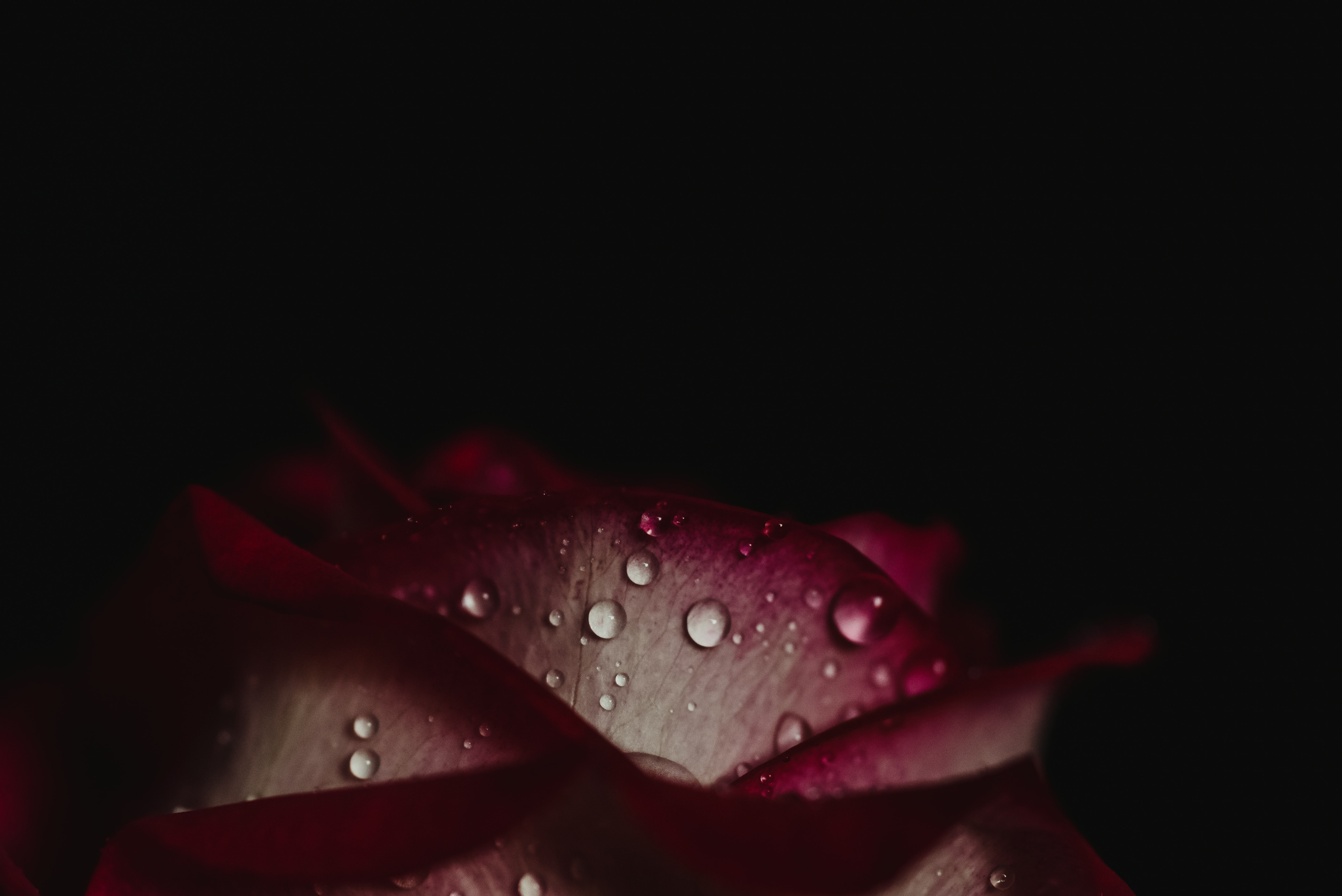 pink and white flower with water droplets