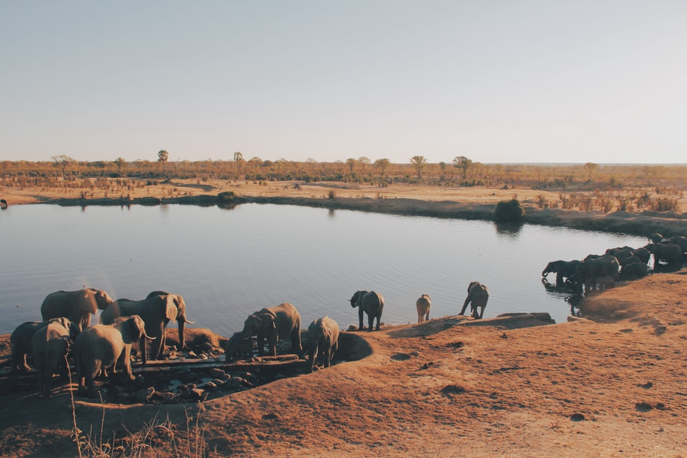 herd of elephant drinking water from lake