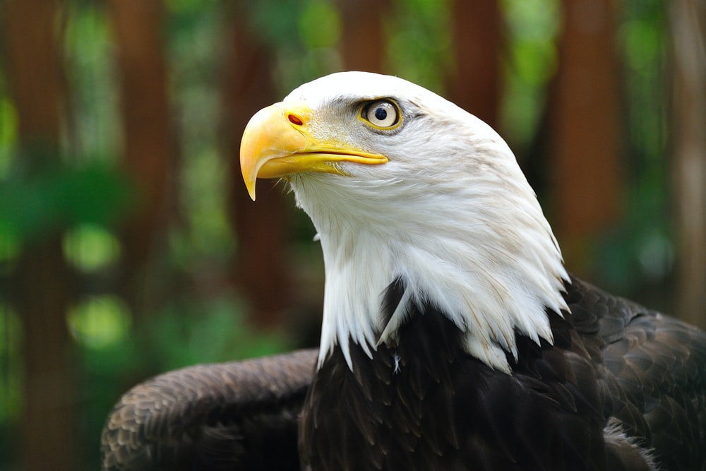 shallow focus photography of bald eagle