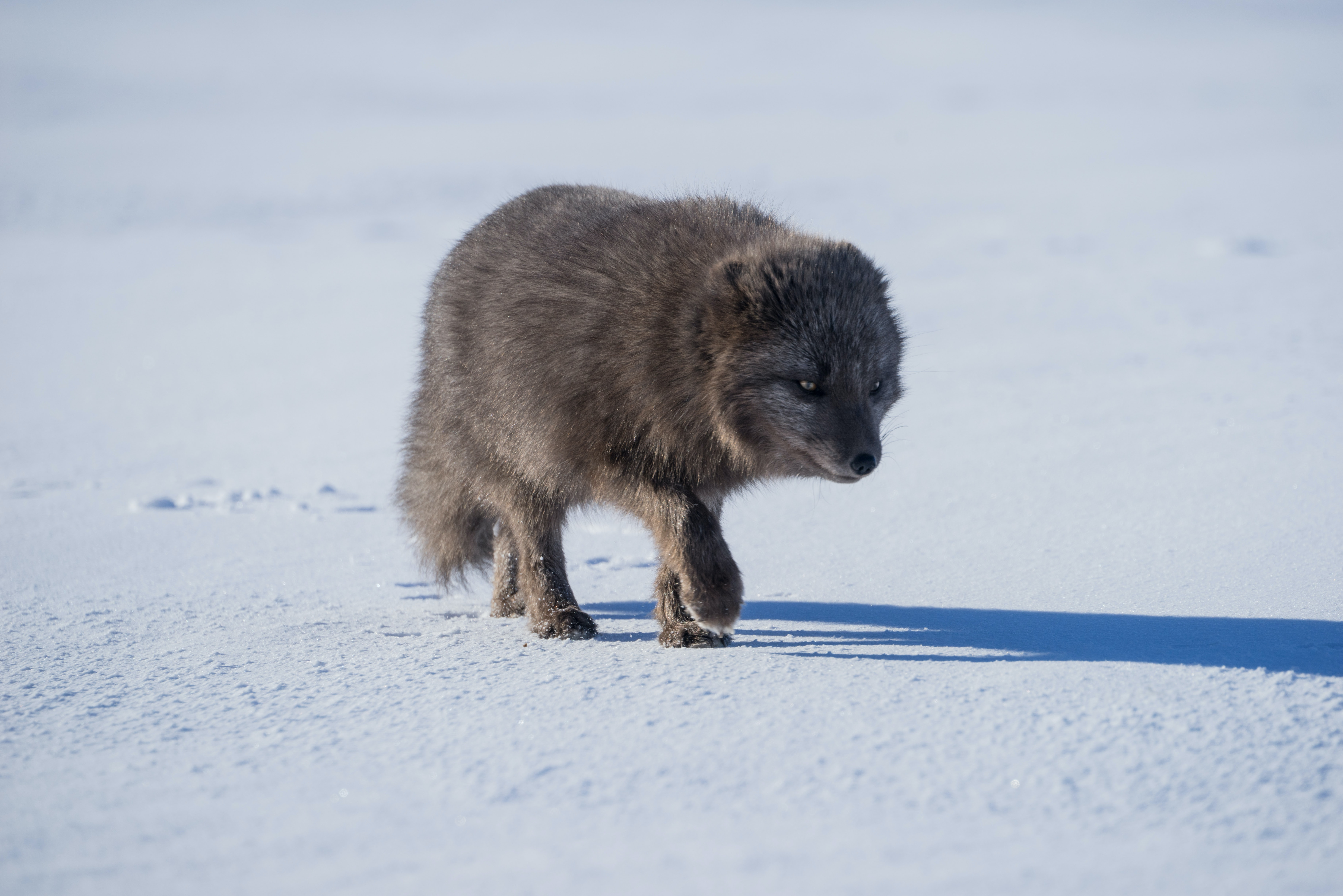 gray wolf walking on snow covered ground