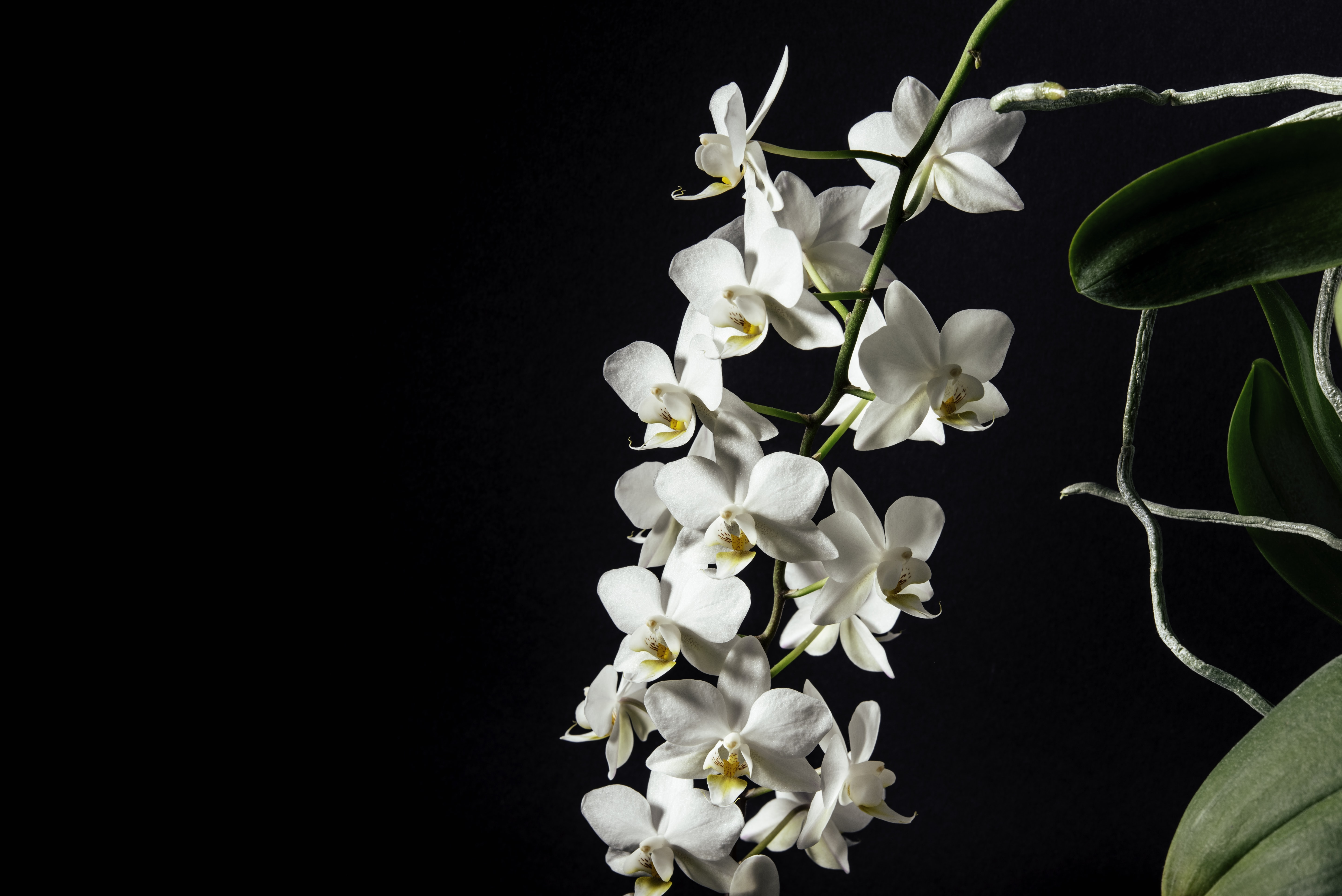 A cluster of white orchids on a long stem against a black background