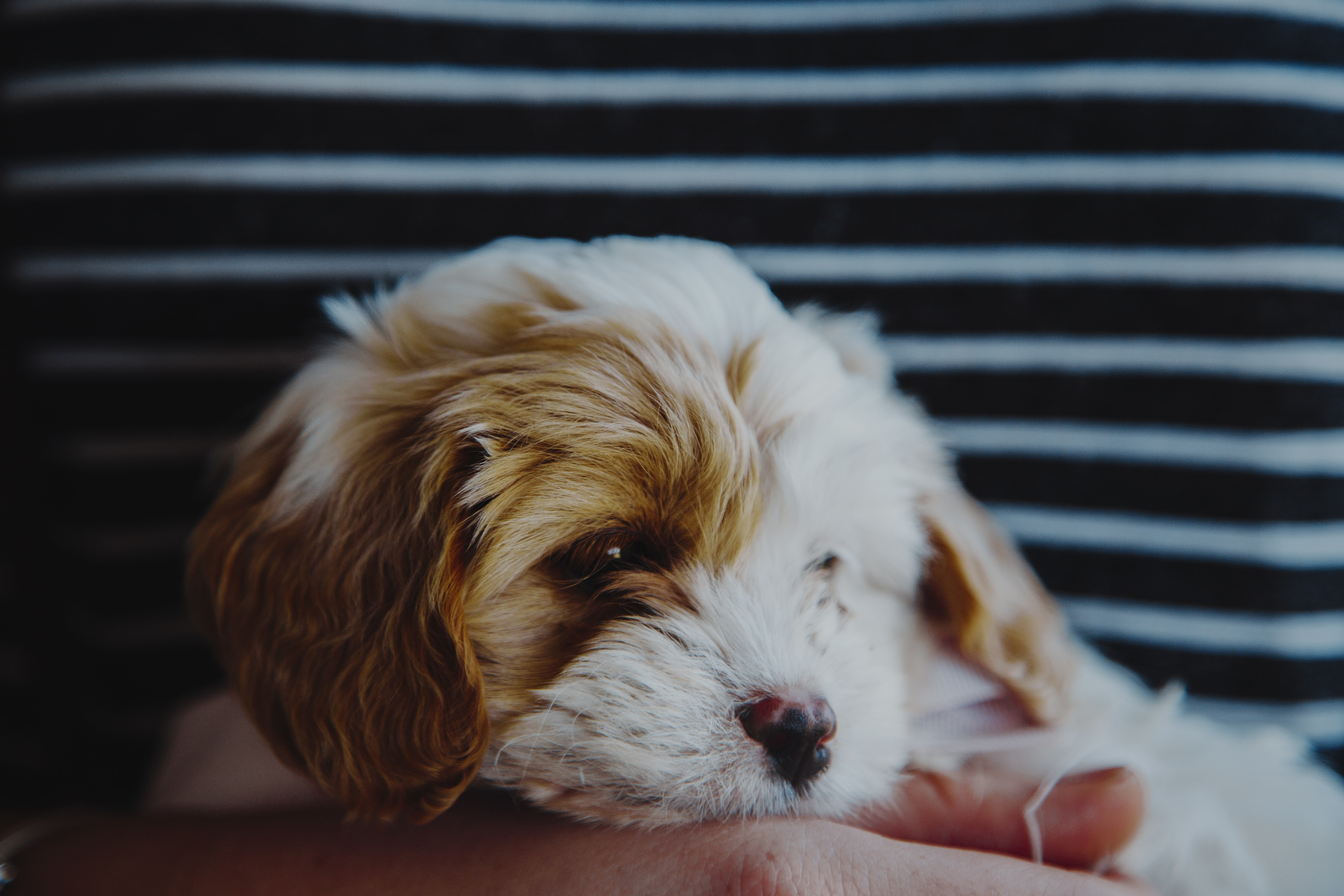 Adorable fluffy puppy rests its head in a person's hands