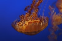 shallow focus photography of brown jellyfish under water