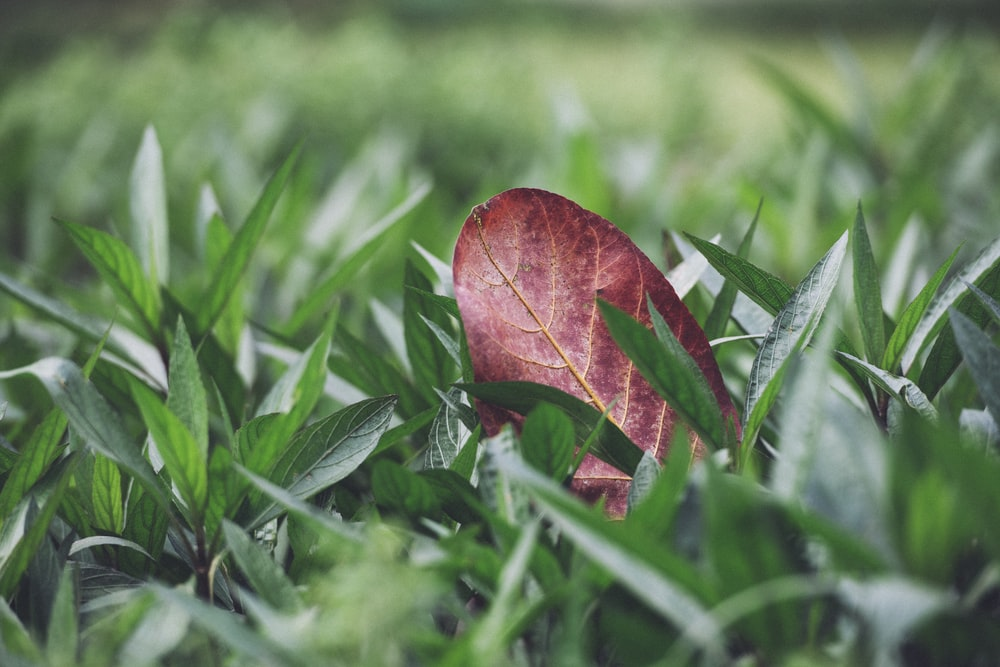 shallow focus photography of red leaf on green grass