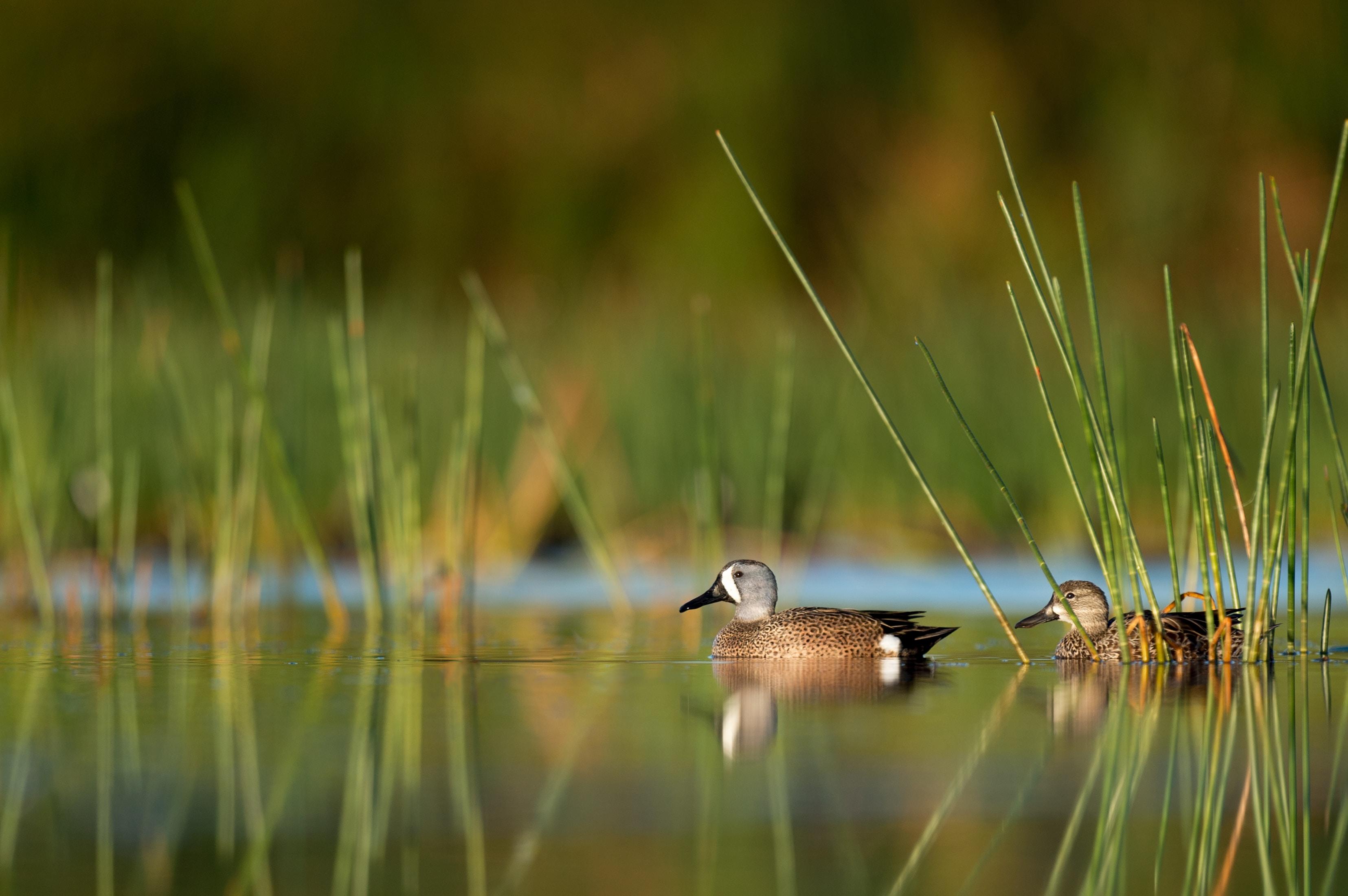 Two ducks swimming through the pond at Vero Beach